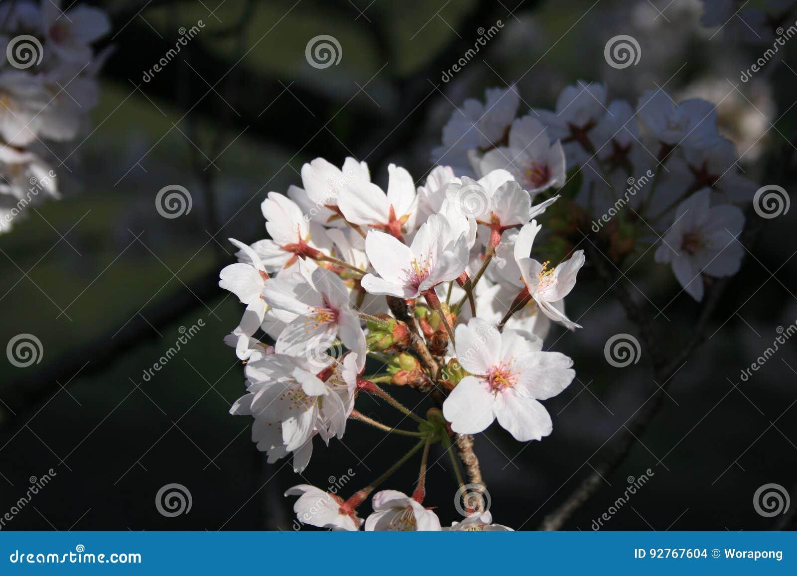 Japonés Sakura