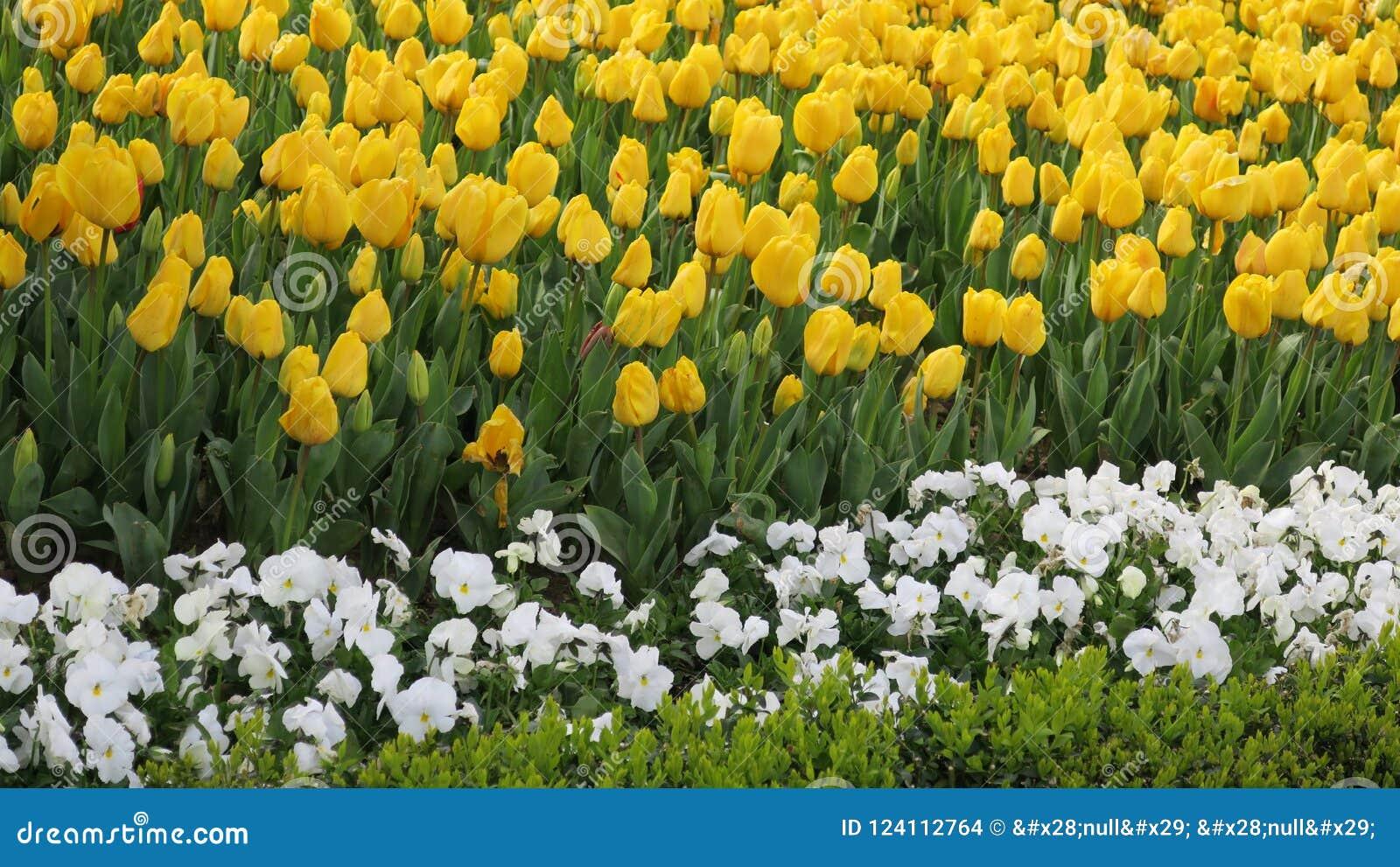 Jardín amarillo del tulipán en Emirgan