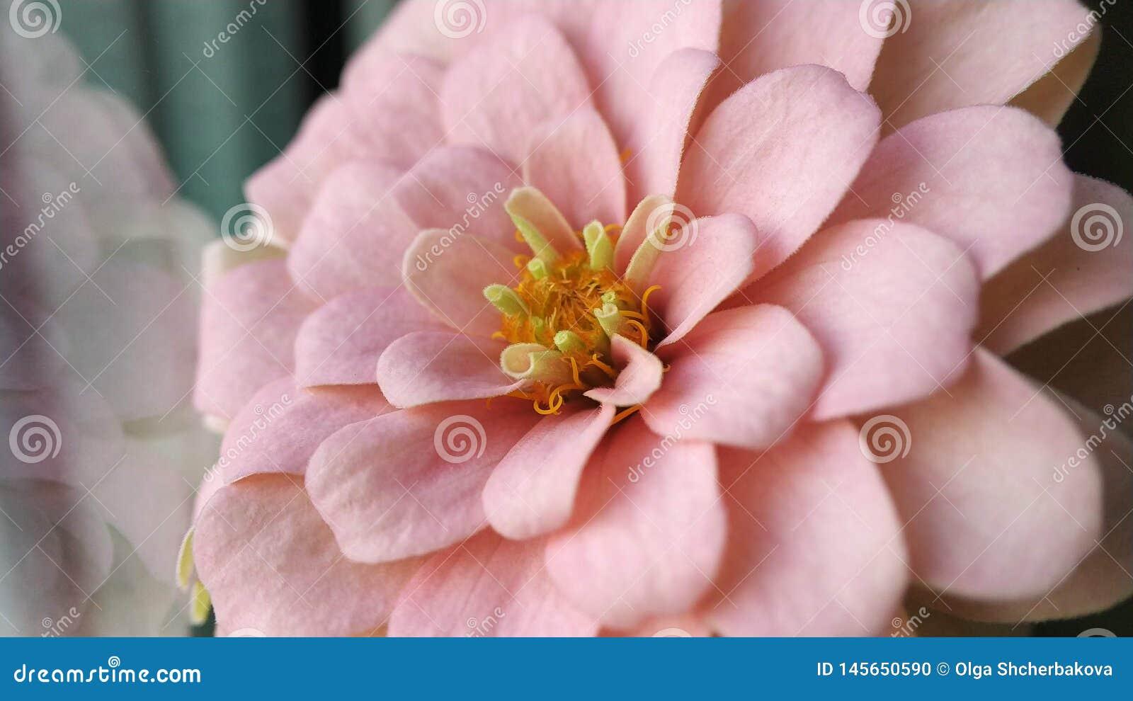 Jardín con las flores magníficas multicoloras rosa, color anaranjado