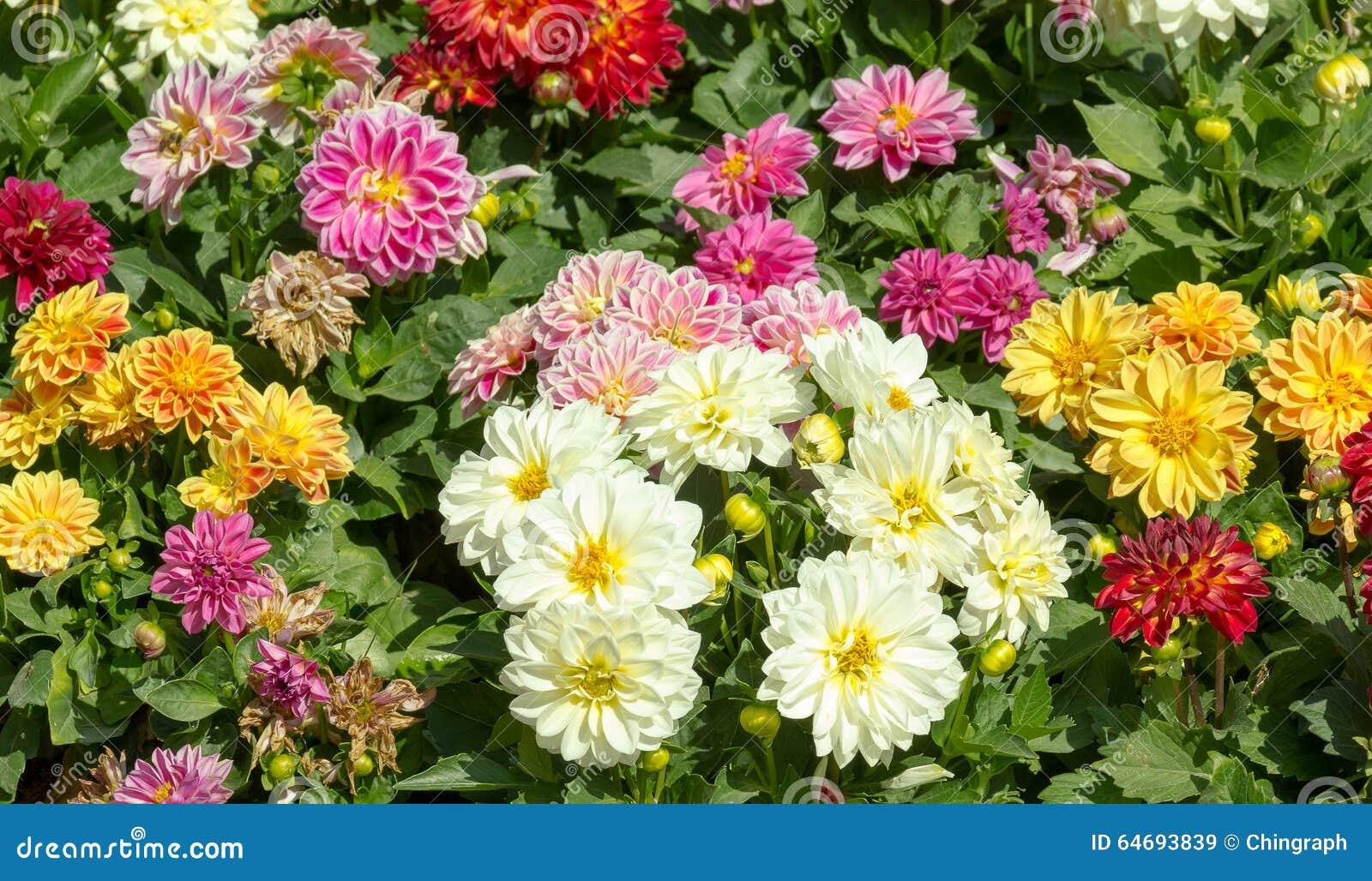 Jardín De La Dalia En Diversos Colores Imagen de archivo - Imagen de ...