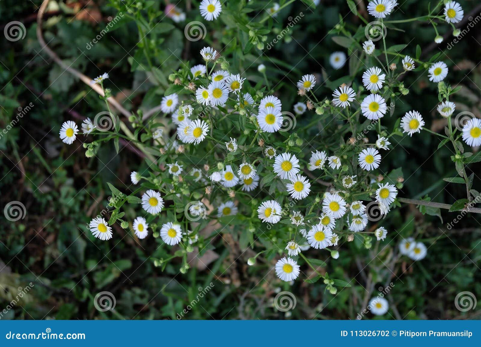 Jardín de la manzanilla/flores blancas de la margarita alemana de la manzanilla