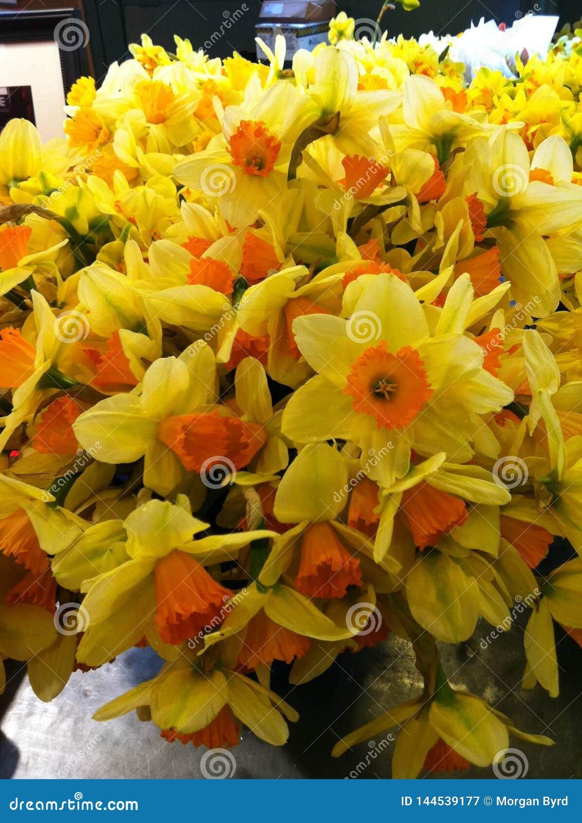 Jardín de narcisos amarillos y anaranjados brillantes