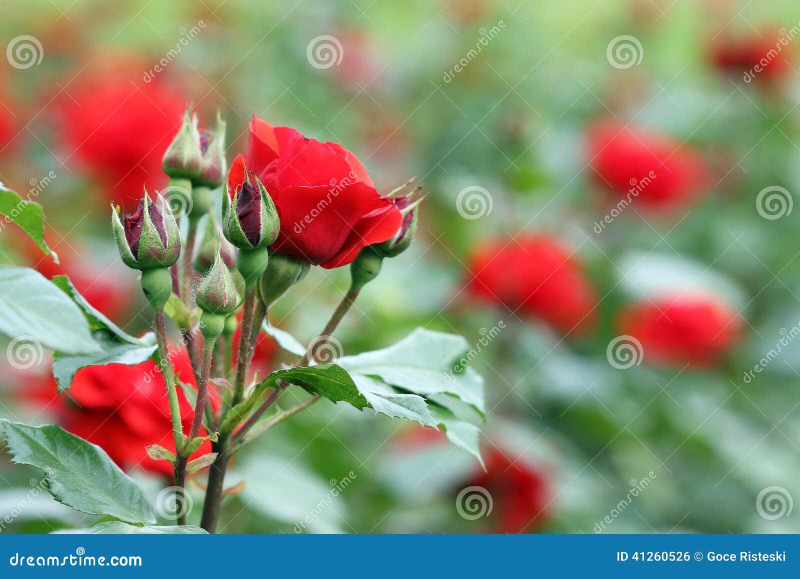 jardins rosas vermelhas:Jardín De Rosas Rojas Foto de archivo – Imagen: 41260526