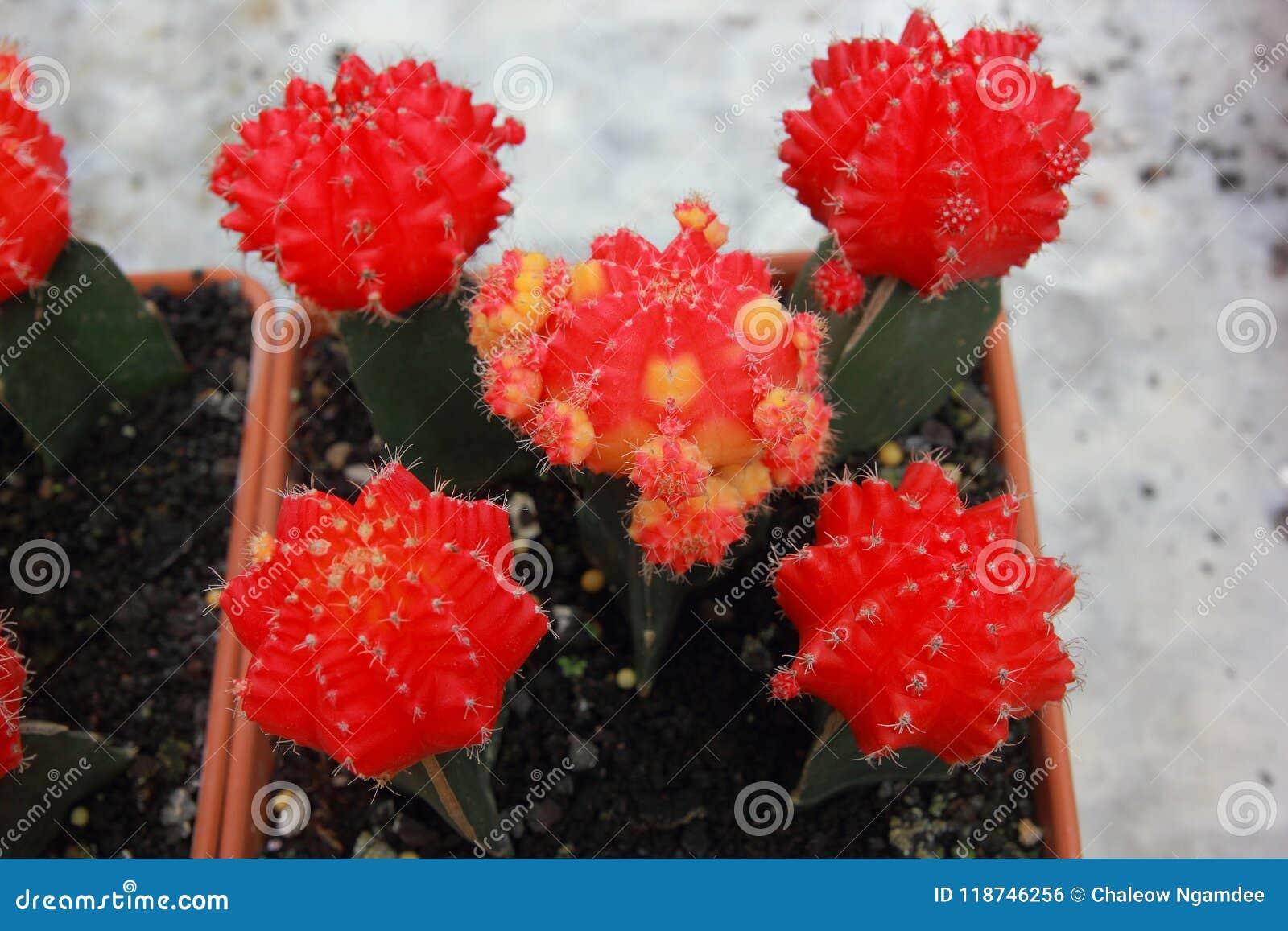 Jardín del cactus de la visión superior, foco de centro