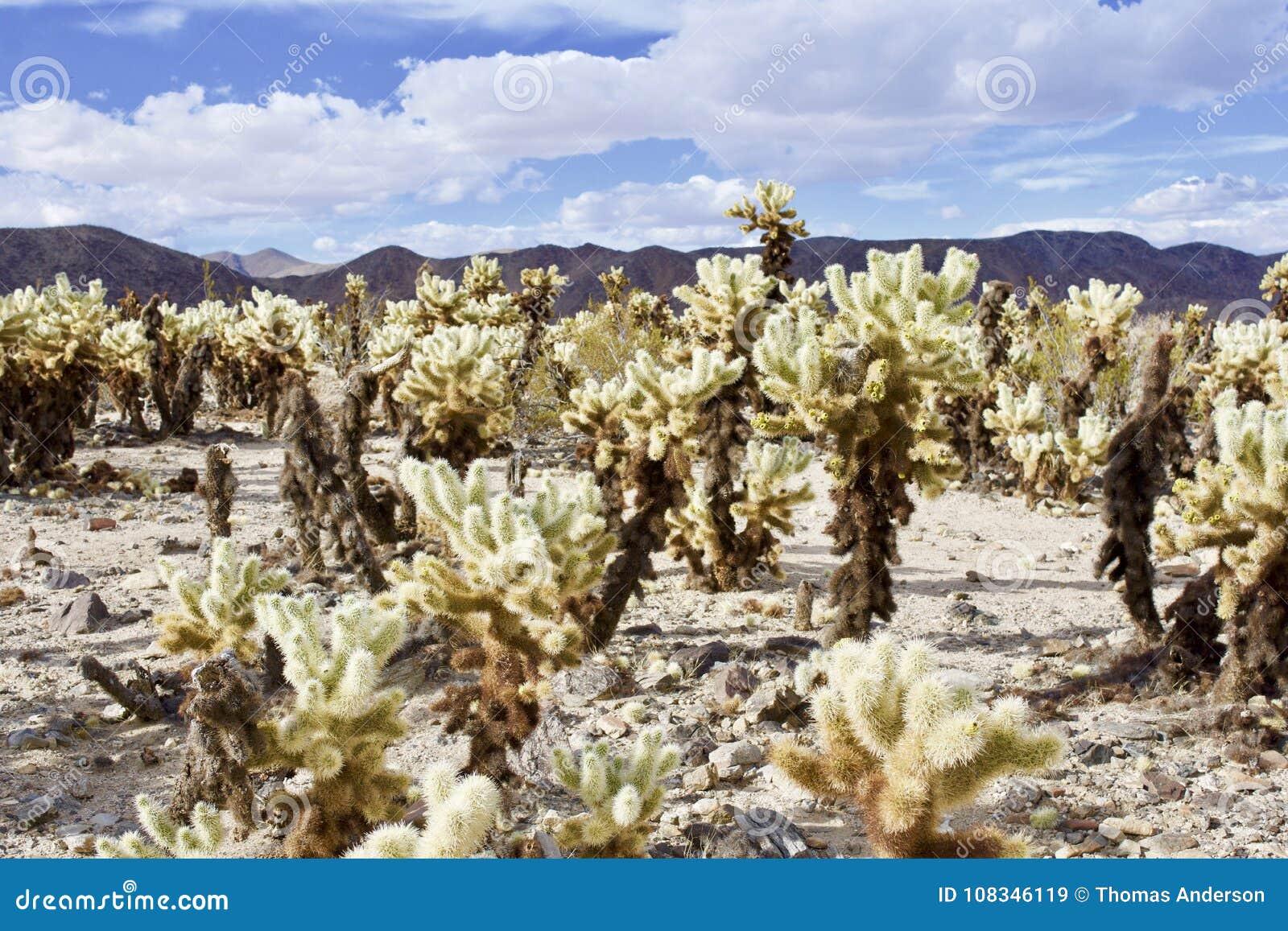 Jardín del desierto de Cholla