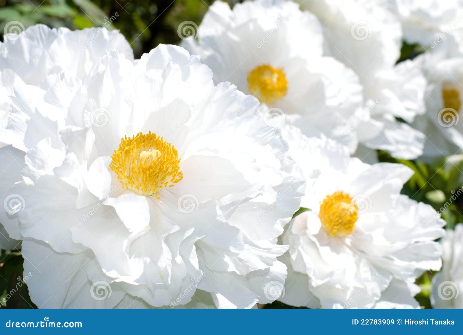 Jardim branco do peony da árvore