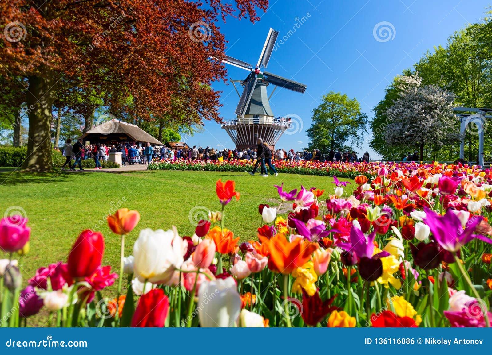 Jardim colorido de florescência do canteiro de flores das tulipas em público com moinho de vento Local turístico popular Lisse, H