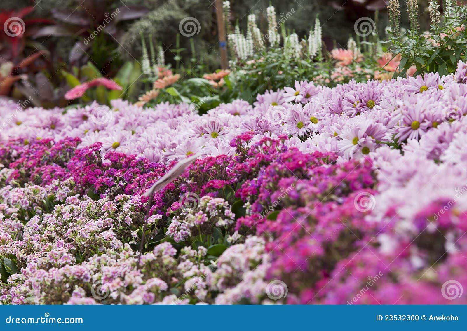 Jardim Corderosa Da Margarida Foto de Stock  Imagem 23532300