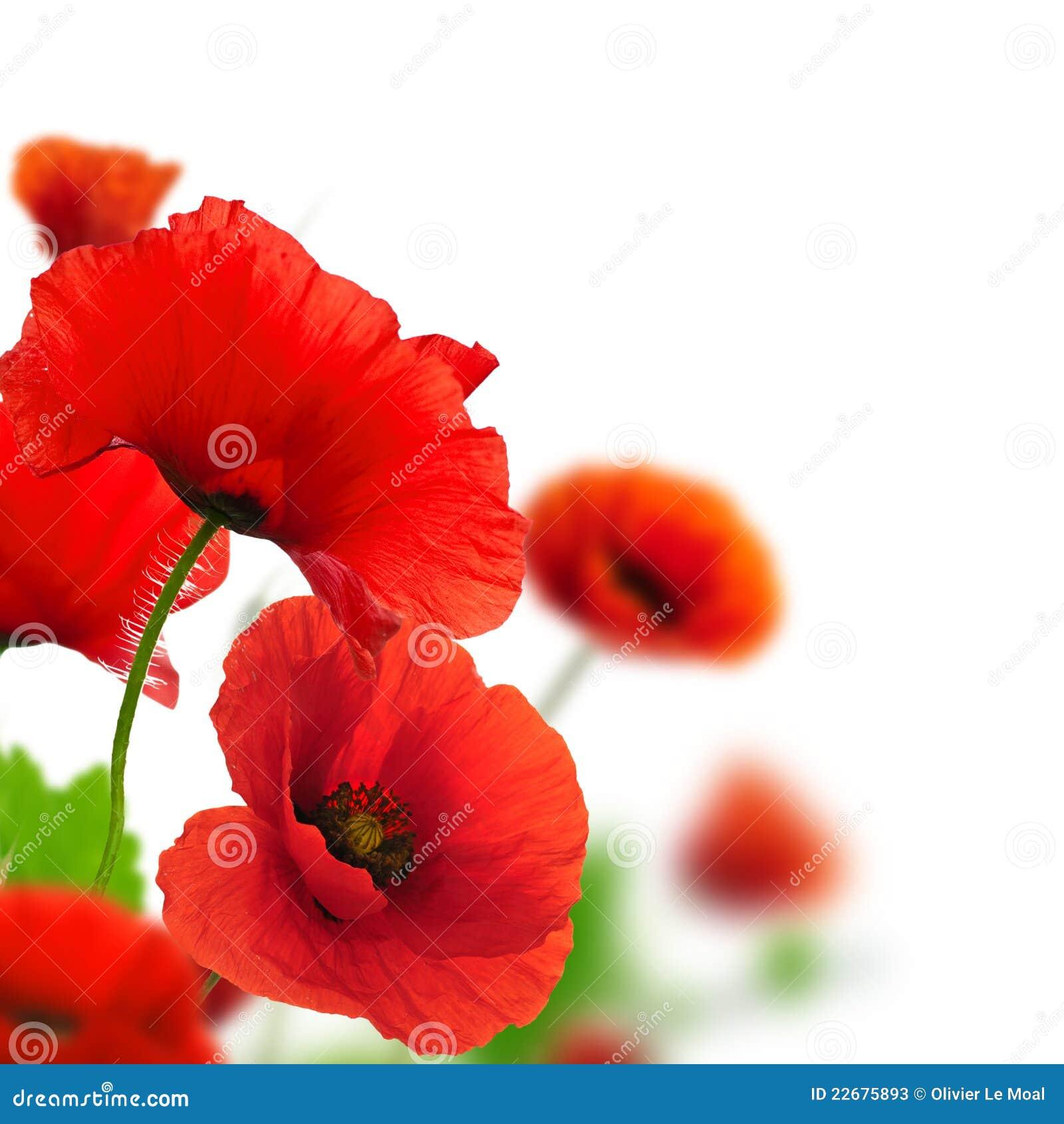 jardim rosas vermelhas:Jardim Das Flores – Papoilas Vermelhas Fotos de Stock – Imagem