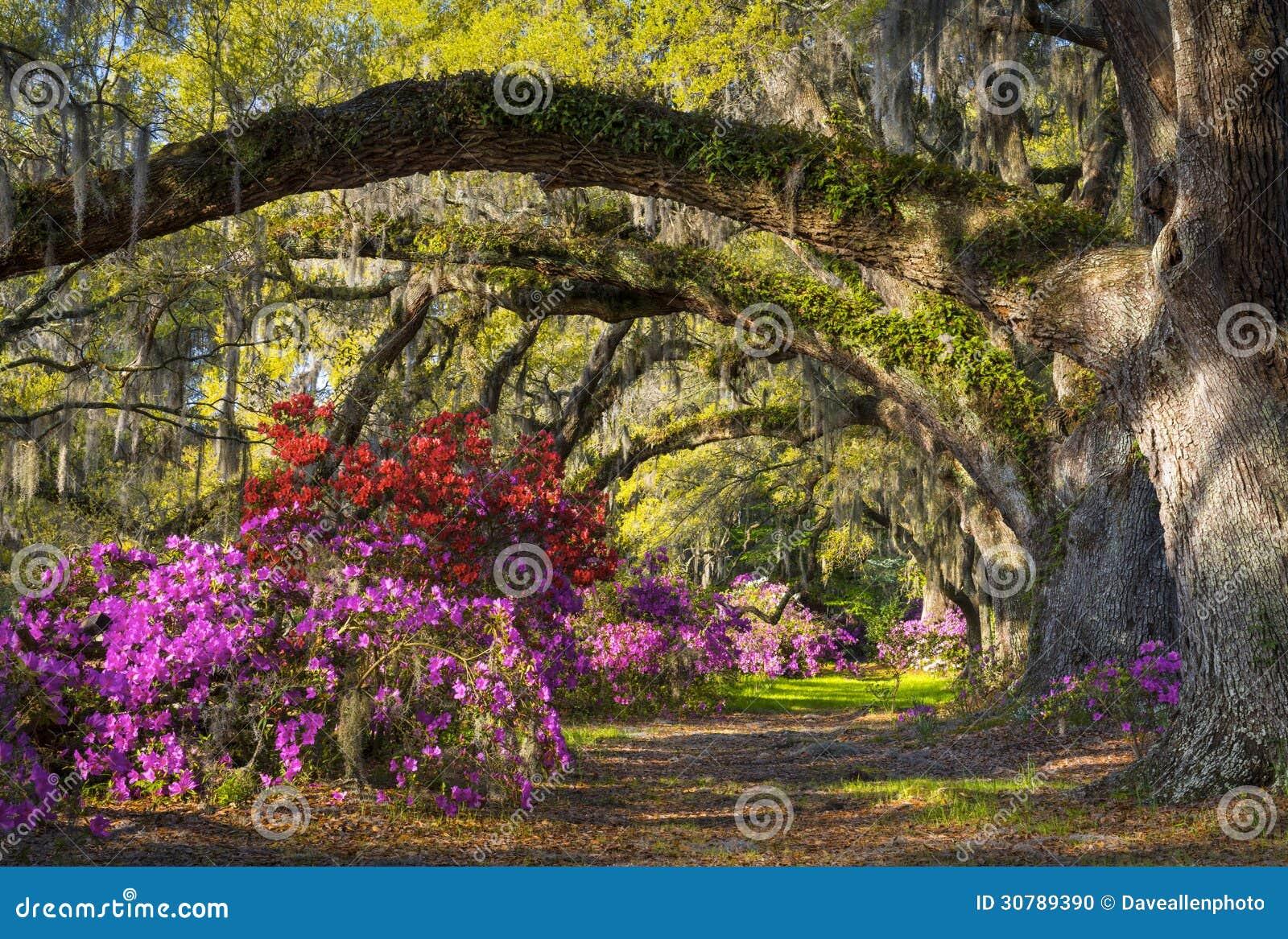 Jardim de Azalea Flowers South Carolina Plantation da flor da mola do SC de Charleston