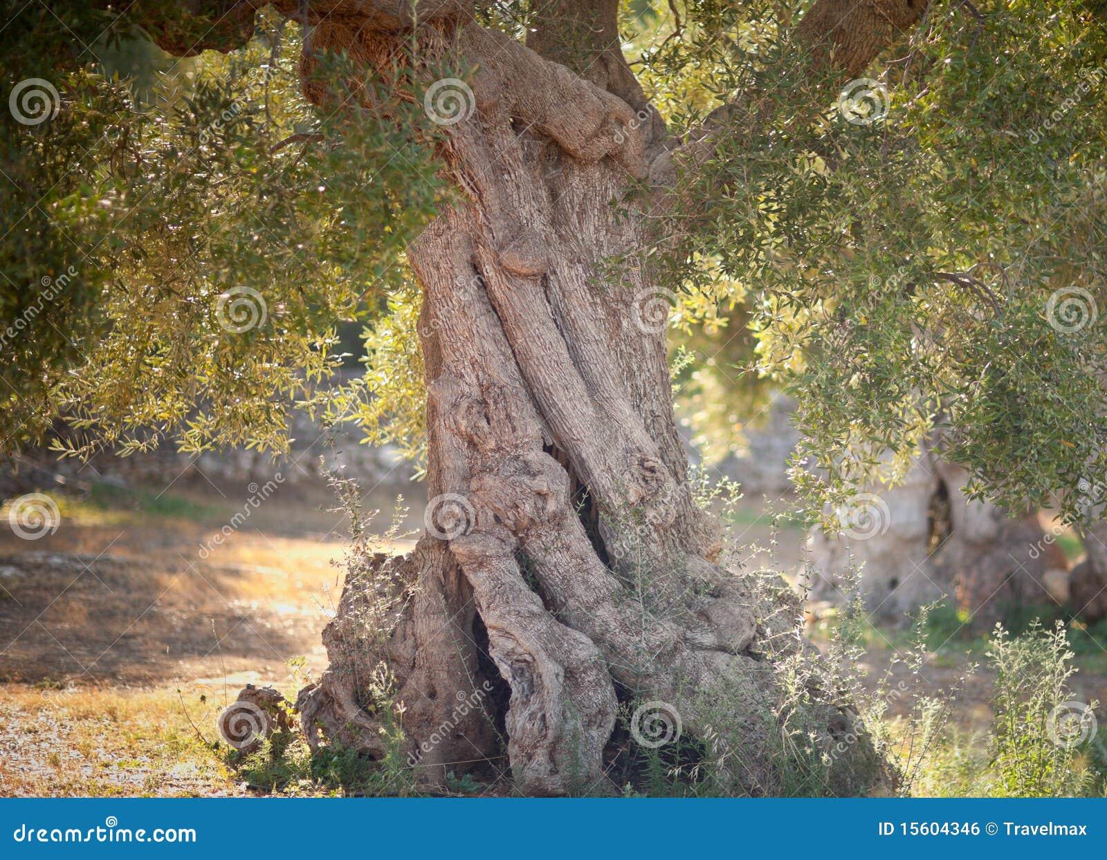 Jardim de oliveiras antigas