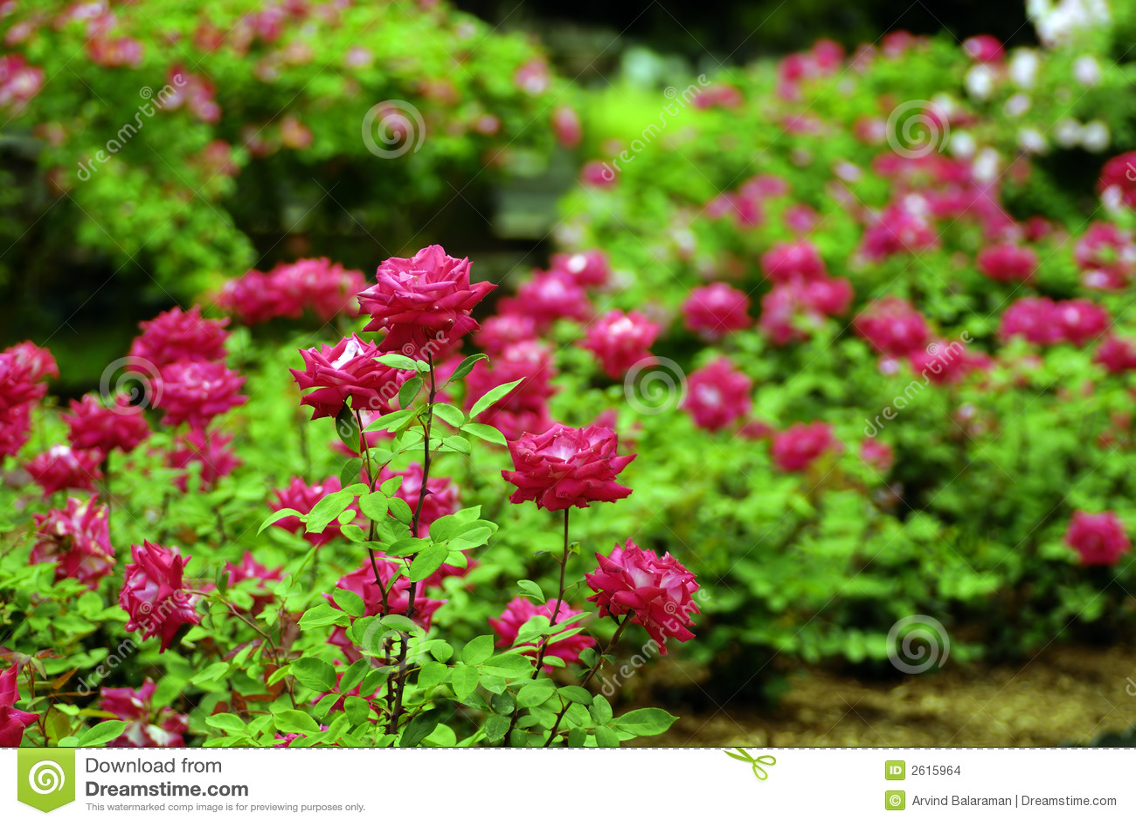 Jardim De Rosas Imagens de Stock  Imagem 2615964