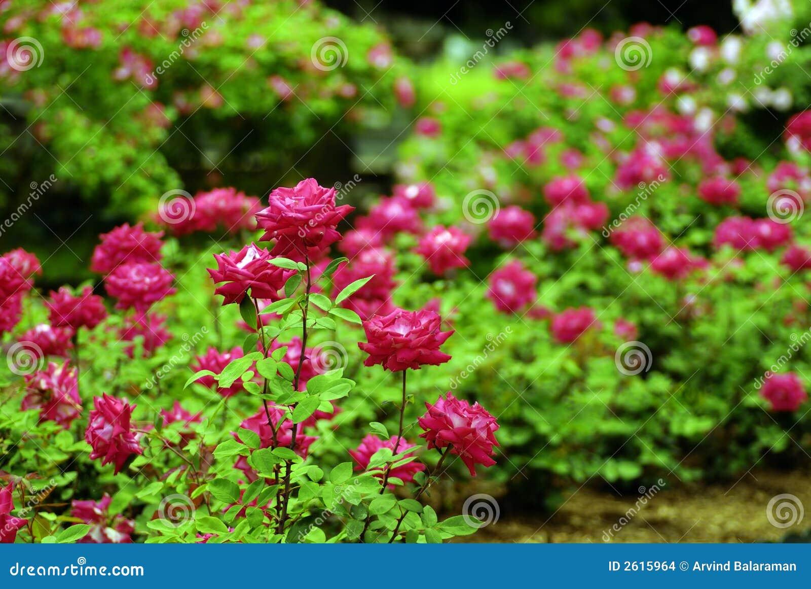 flores de jardim fotos:Rose Garden