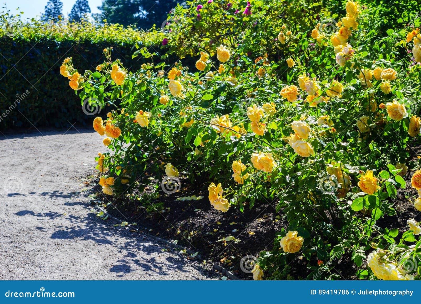 Jardim de rosas bonito no verão, Reino Unido
