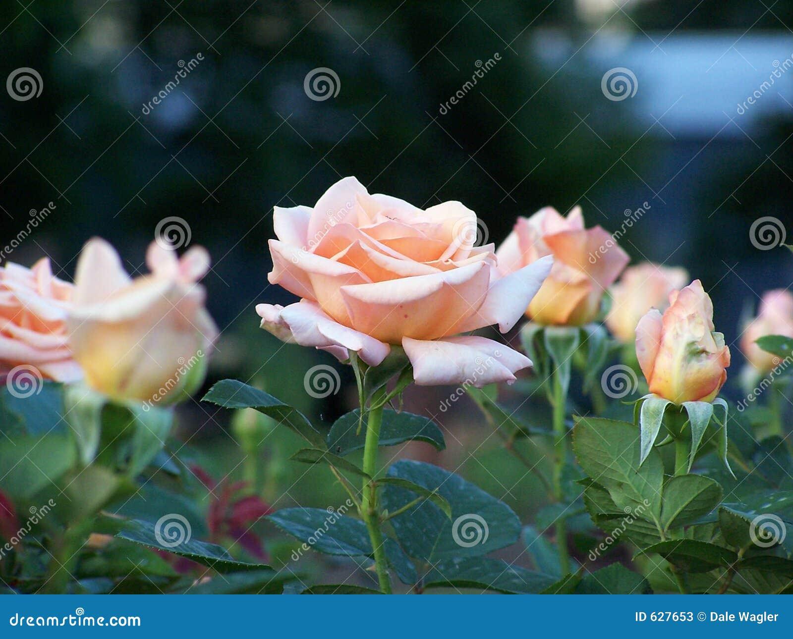 Jardim De Rosas Corderosa Fotos de Stock  Imagem 627653