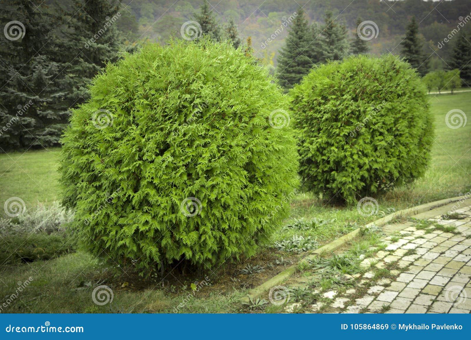 Jardim decorativo da forma redonda de Danica dos occidentalis do Thuja