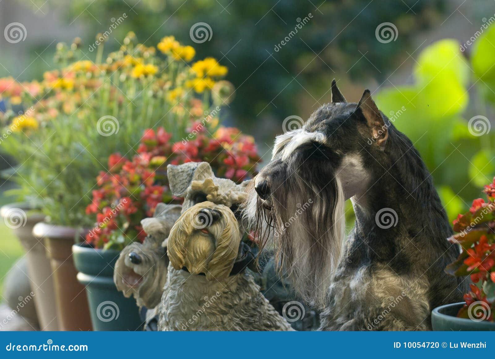 Jardim do Schnauzer do animal de estimação do cão mini