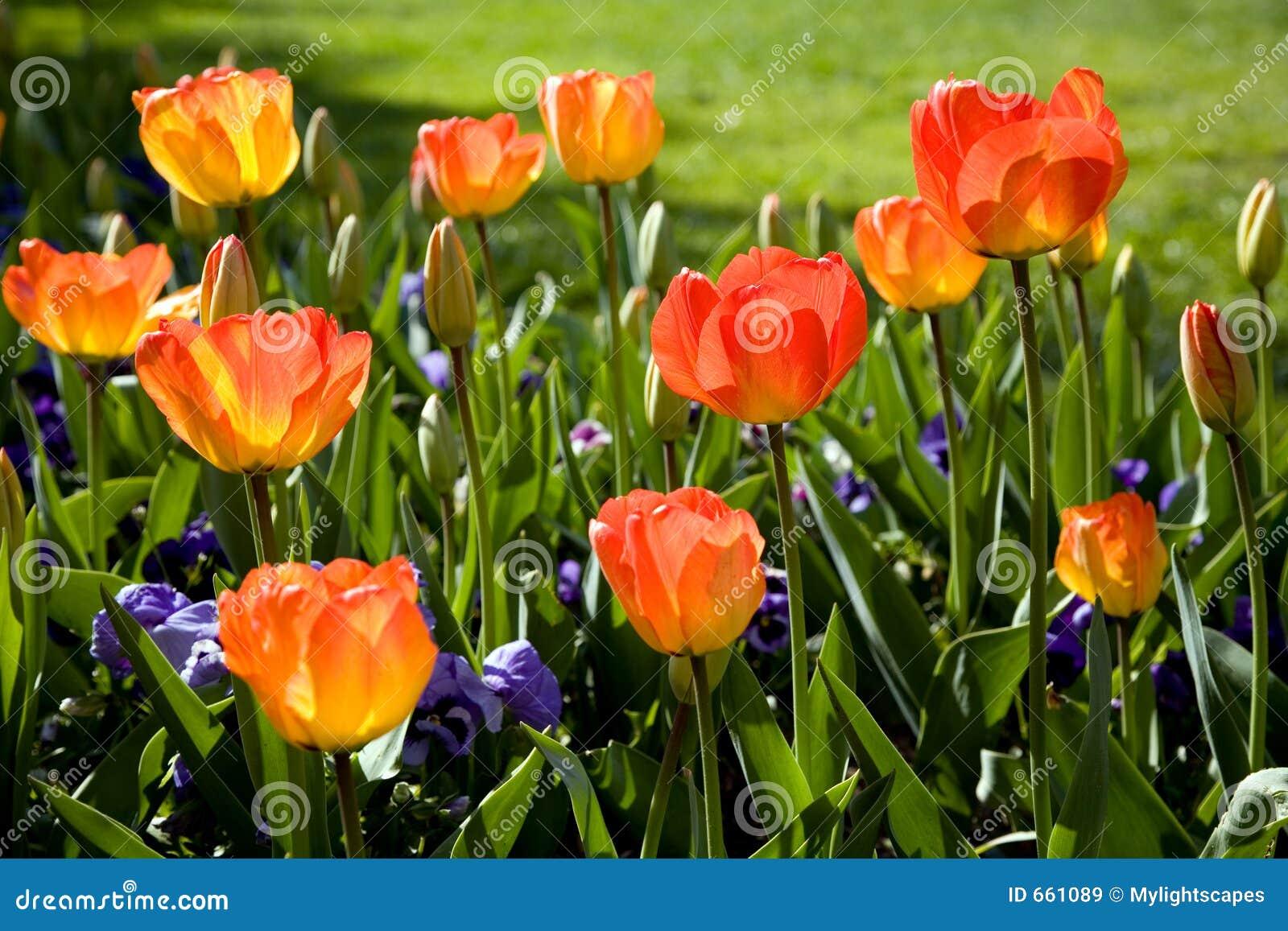 Jardim do tulip da mola