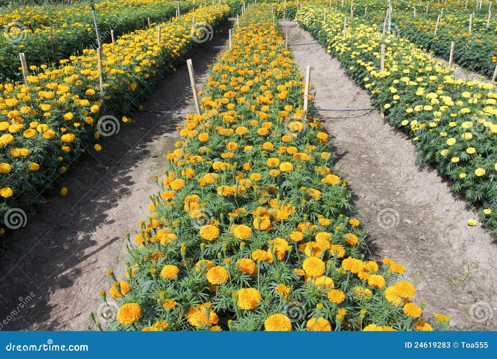 Jardim dos Marigolds