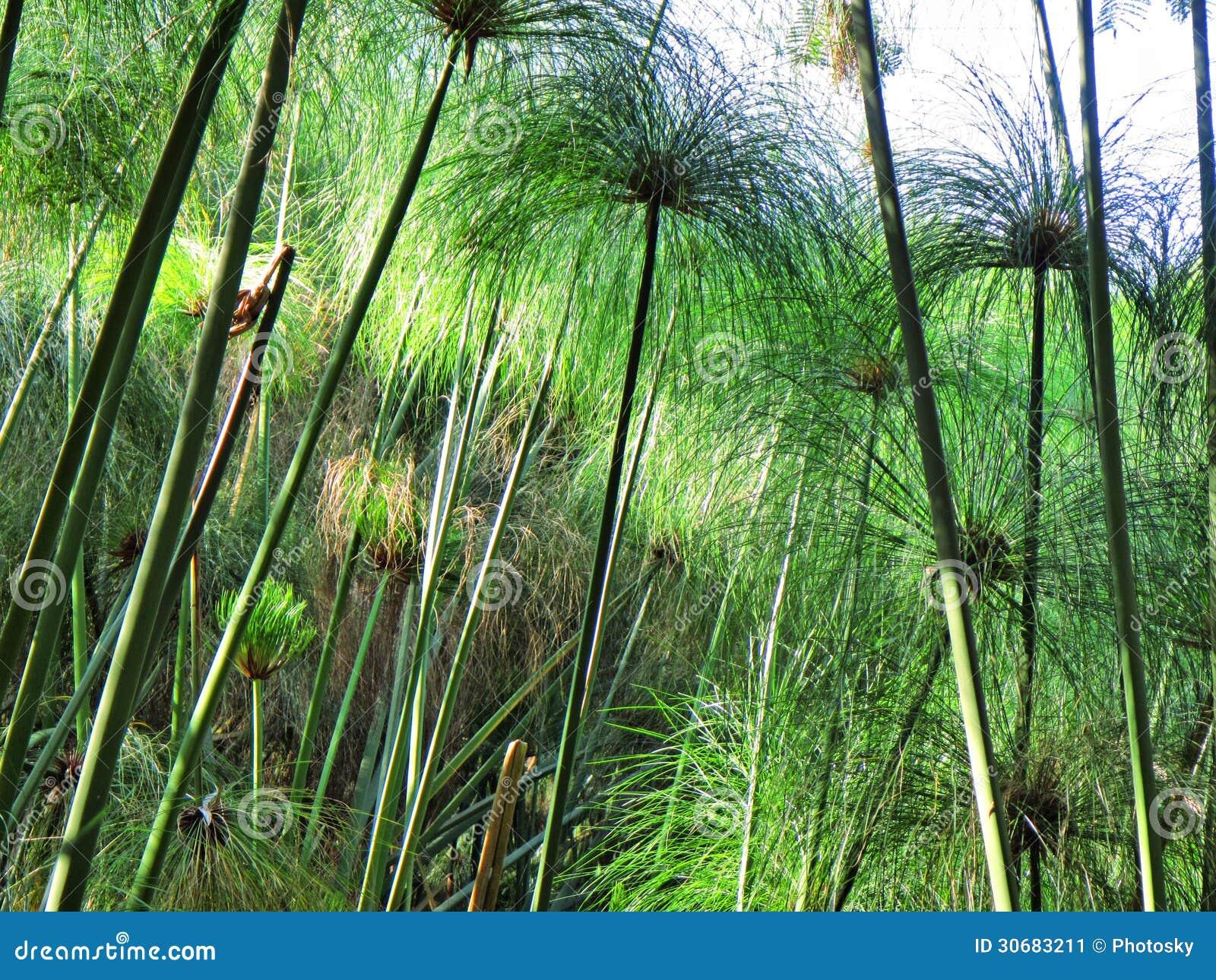 plantas jardim de sol:Jardim Junco-como Plantas Na Luz Do Por Do Sol Imagem de Stock