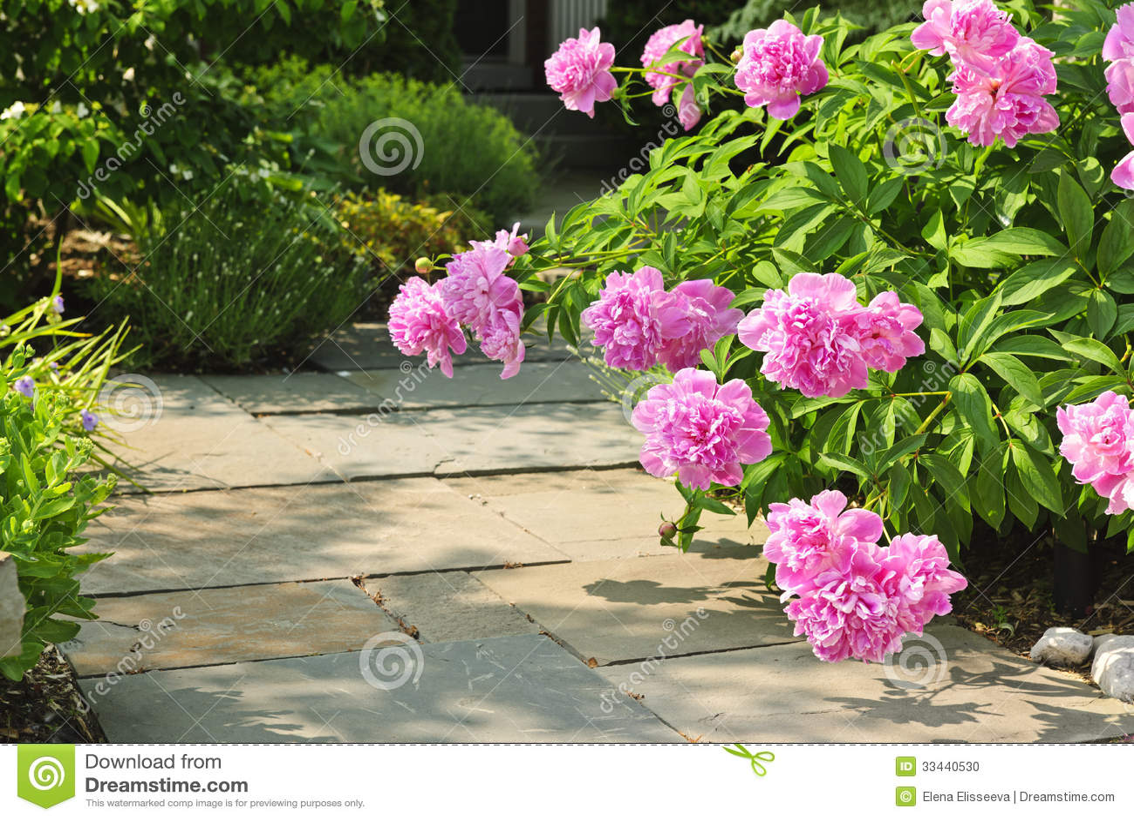 Jardin avec les pivoines roses photo stock image 33440530 for Jardin roses