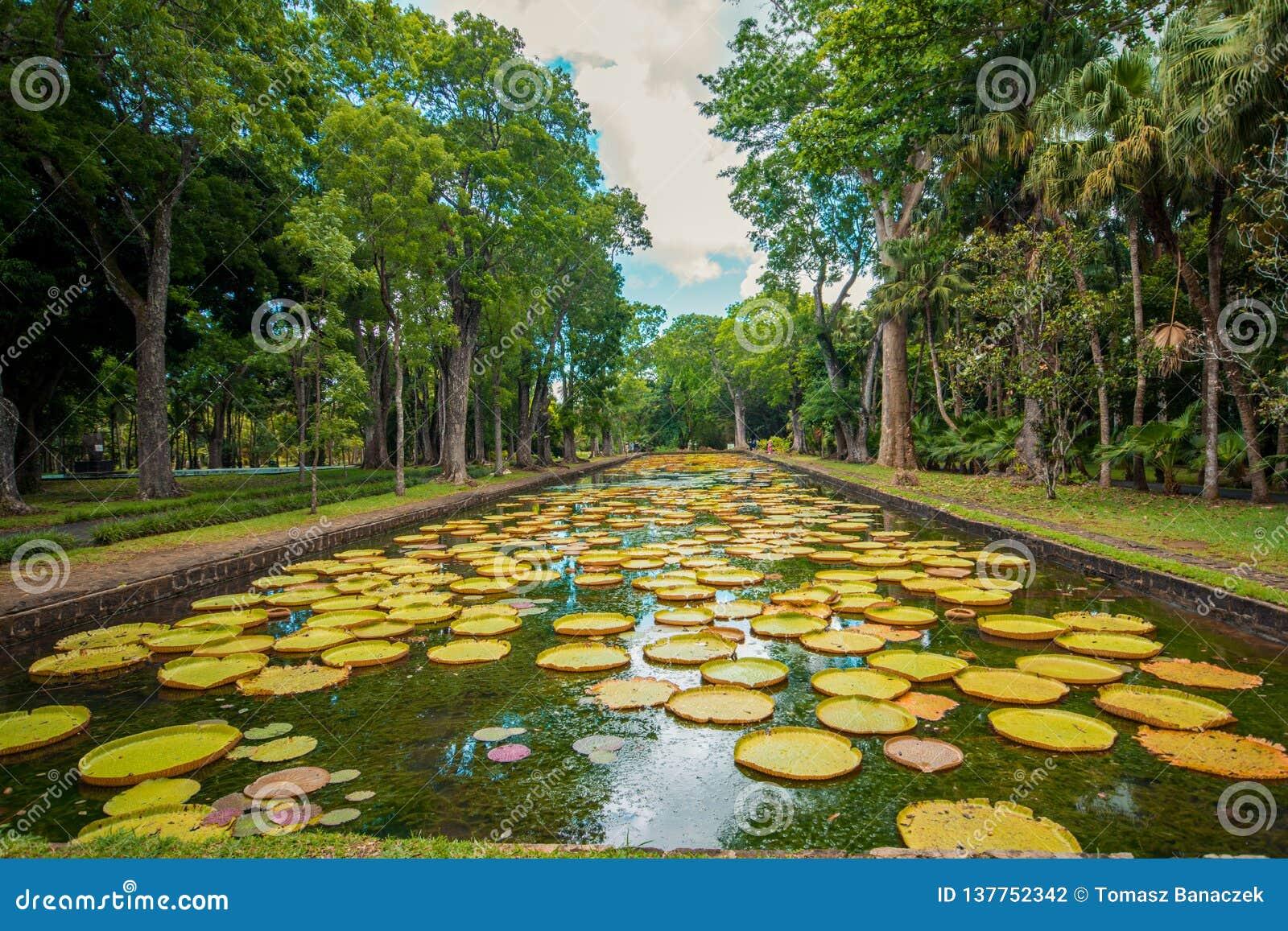 Jardin botanique Pamplemousses, Îles Maurice de grands nénuphars