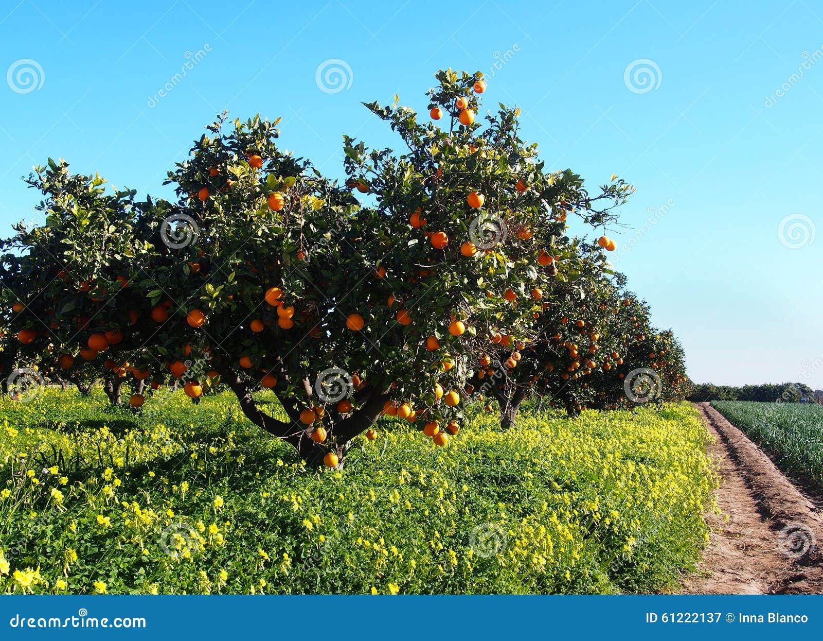 jardin d 39 arbres oranges avec beaucoup de fruits image stock image 61222137. Black Bedroom Furniture Sets. Home Design Ideas