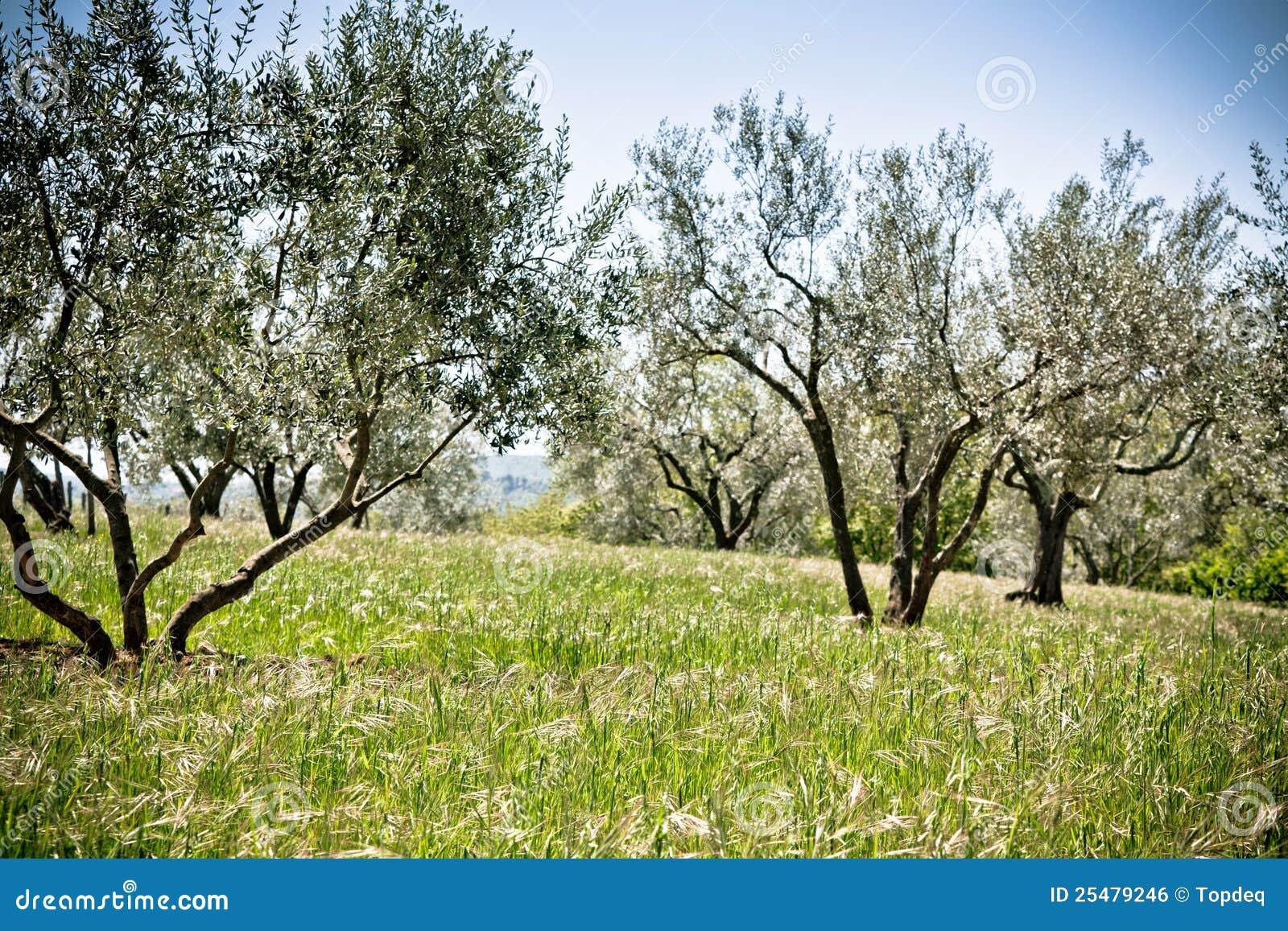 Jardin d 39 olivier image libre de droits image 25479246 for Jardin olivier