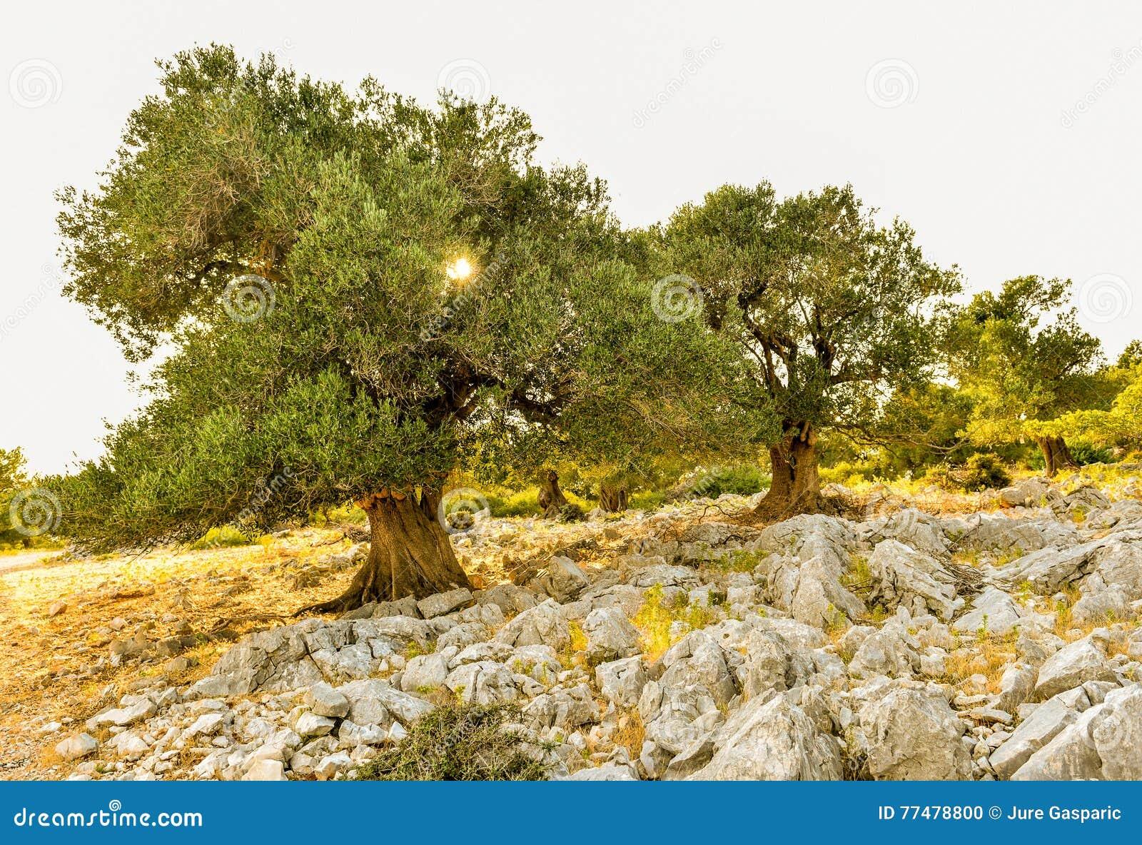 jardin d 39 olivier dans le coucher du soleil ou le lever de soleil photo stock image du olive. Black Bedroom Furniture Sets. Home Design Ideas