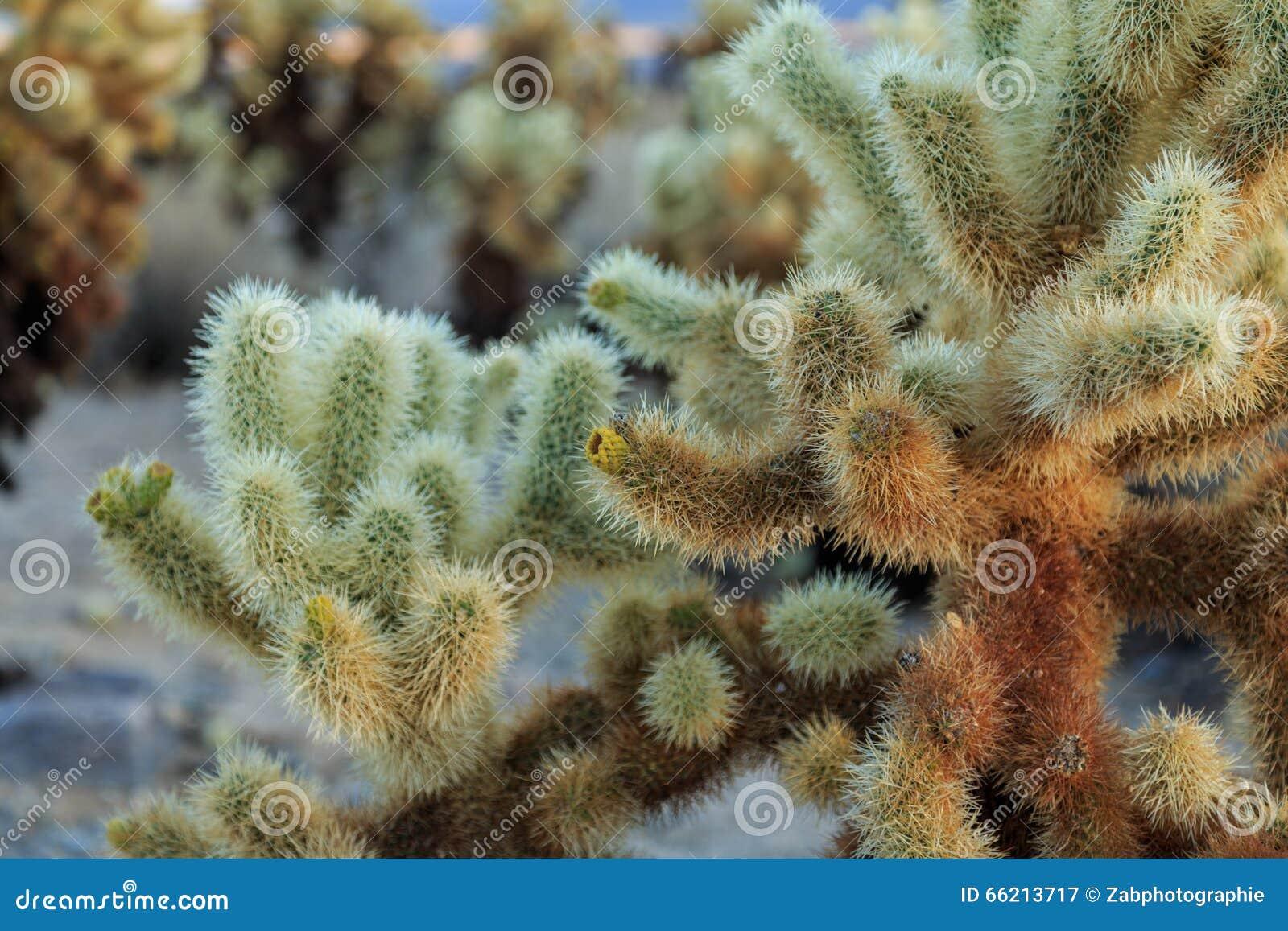 Jardin de cactus de Cholla