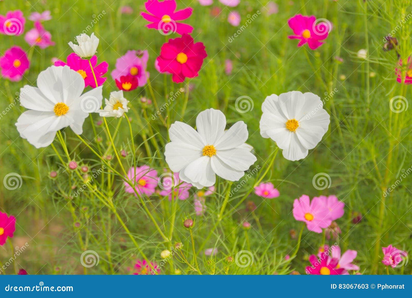 Jardin De Fleurs Blanc Et Rouge Rose De Cosmos, Trouble Au ...