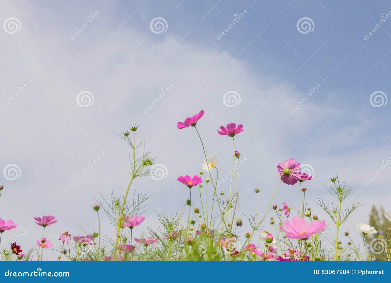 Jardin De Fleurs Blanc Et Rouge Rose De Cosmos, Trouble Au Foyer Mou ...