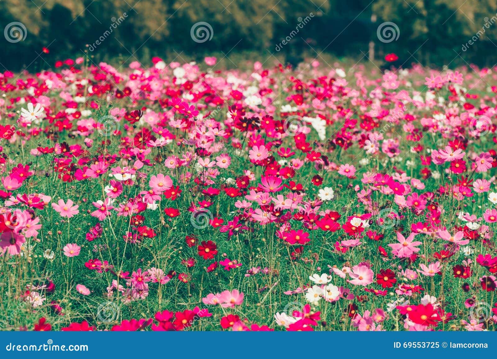 Jardin de fleurs rose et rouge de cosmos image stock for Fleurs de jardin