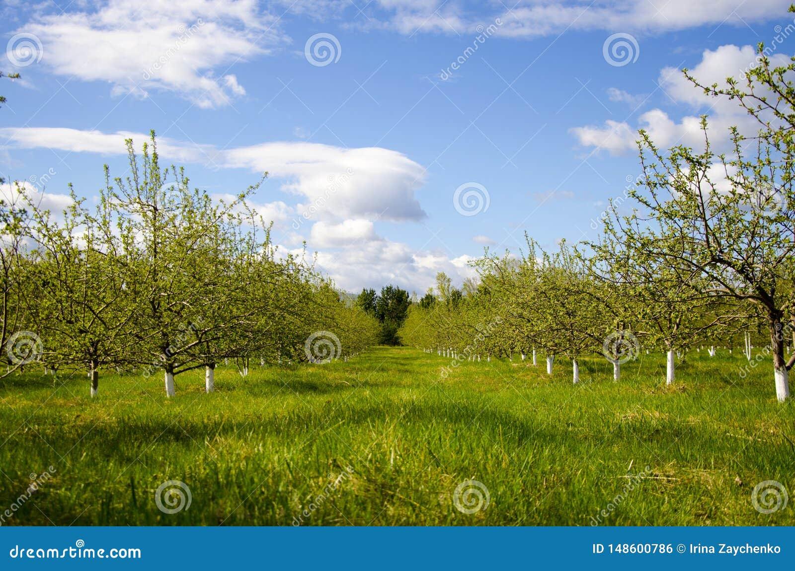 Jardin de floraison de pomme au printemps