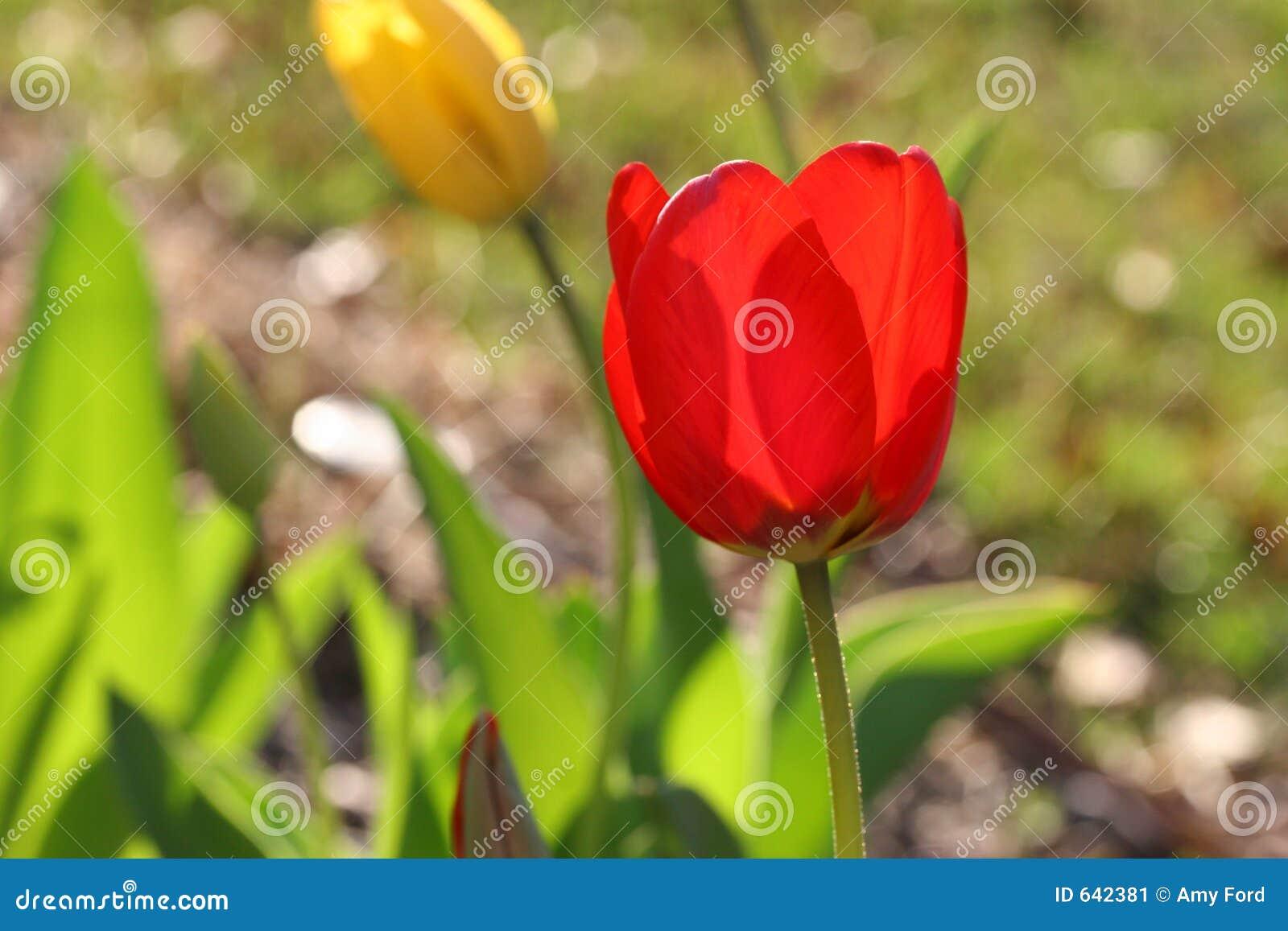 Jardin de tulipe