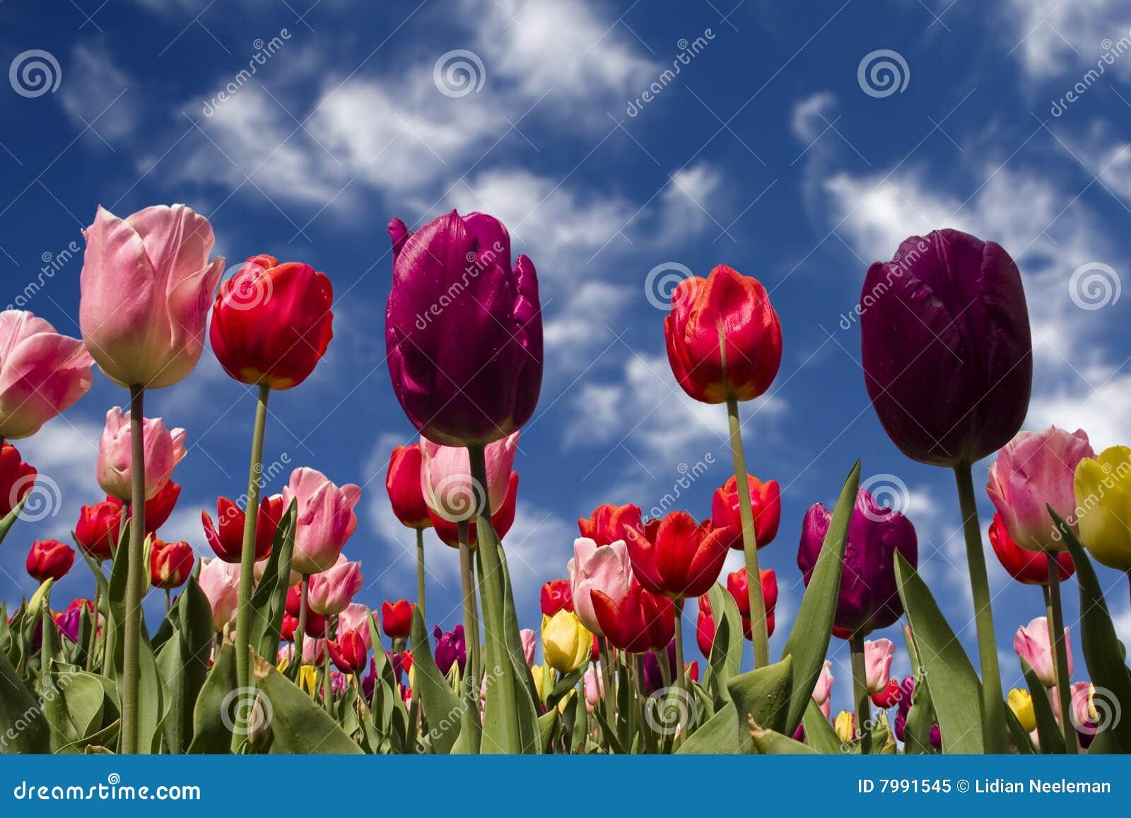 jardin de tulipes au printemps image stock image du b ti fleur 7991545. Black Bedroom Furniture Sets. Home Design Ideas