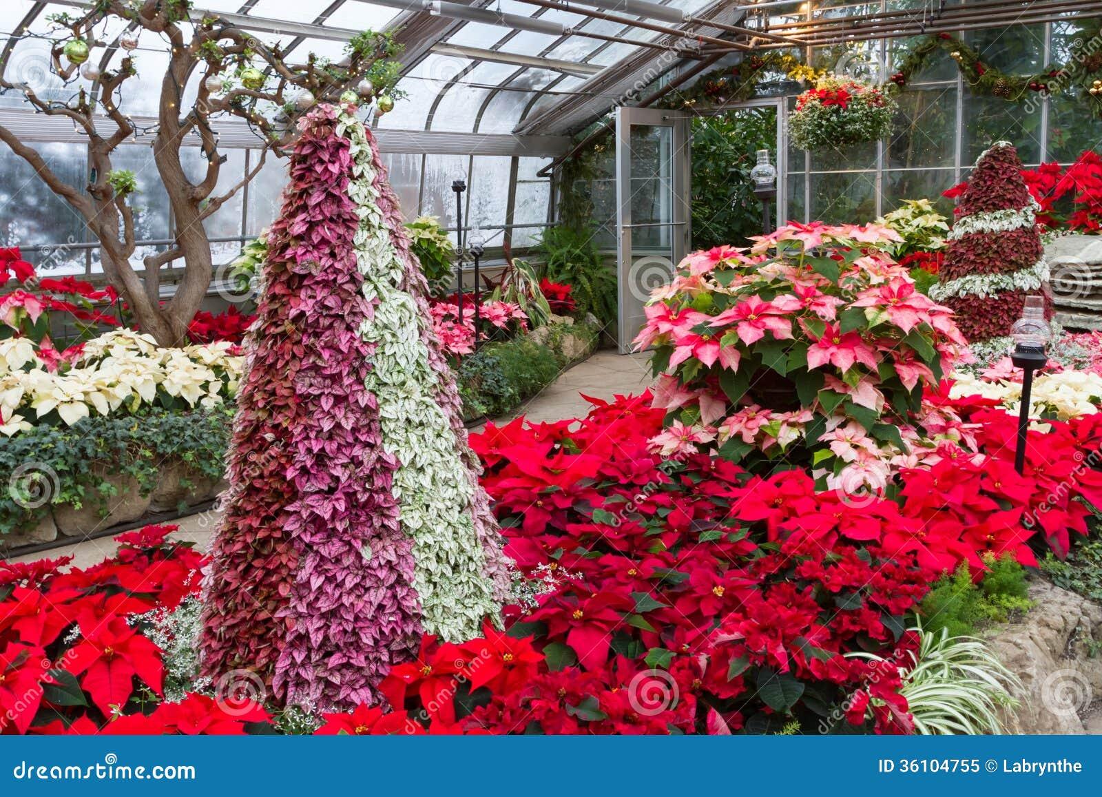 Jardin Des Fleurs De Poinsietta Photo libre de droits ...
