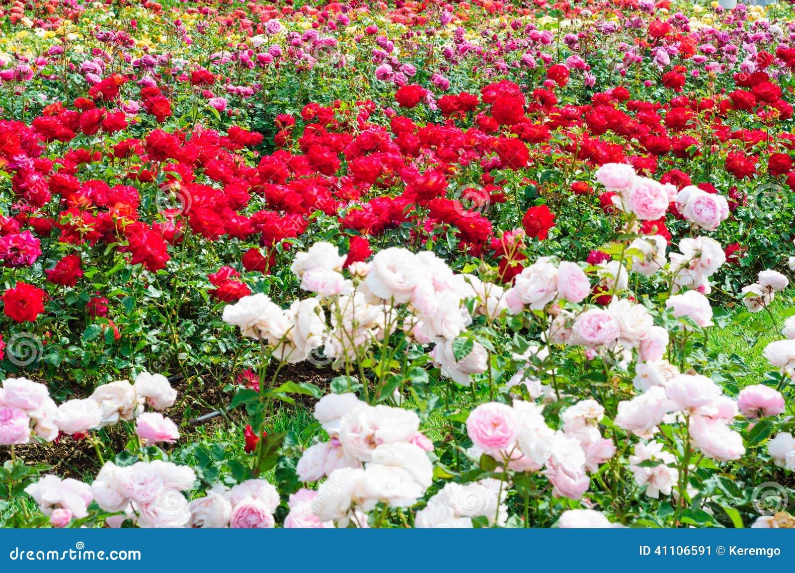 jardin des roses image stock image du diff rent grimpeurs 41106591. Black Bedroom Furniture Sets. Home Design Ideas