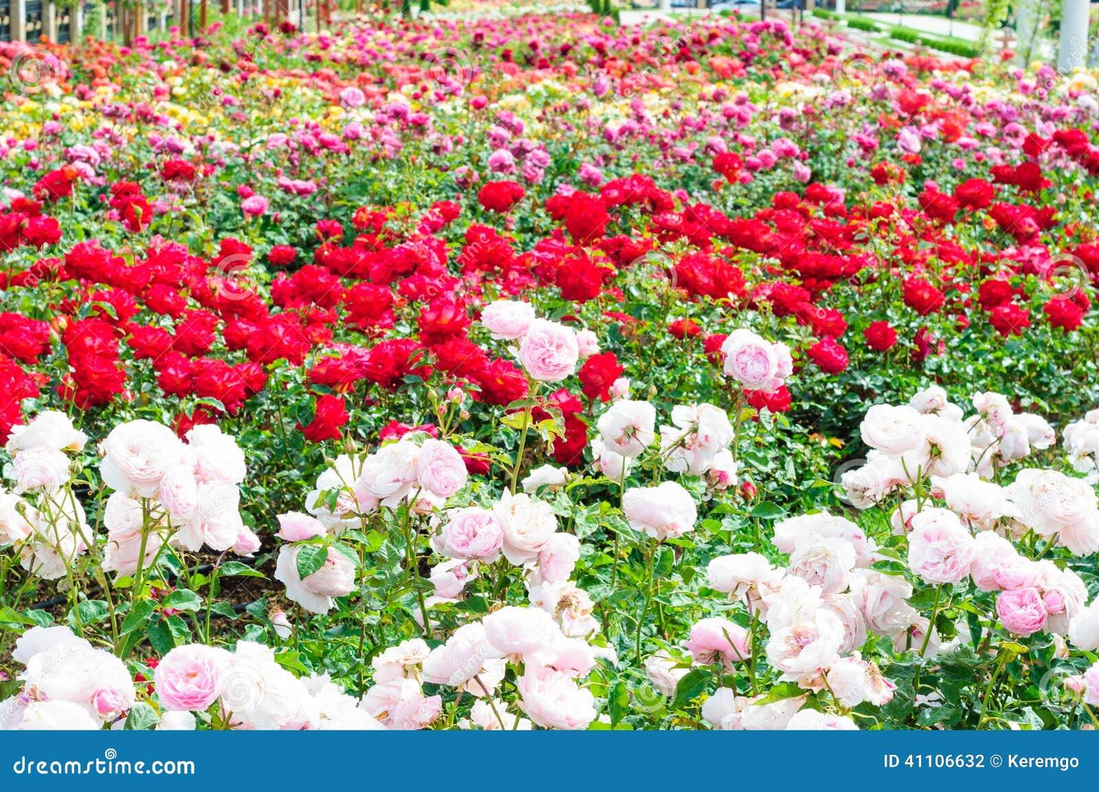 jardin des roses photo stock image du facilement europe 41106632. Black Bedroom Furniture Sets. Home Design Ideas