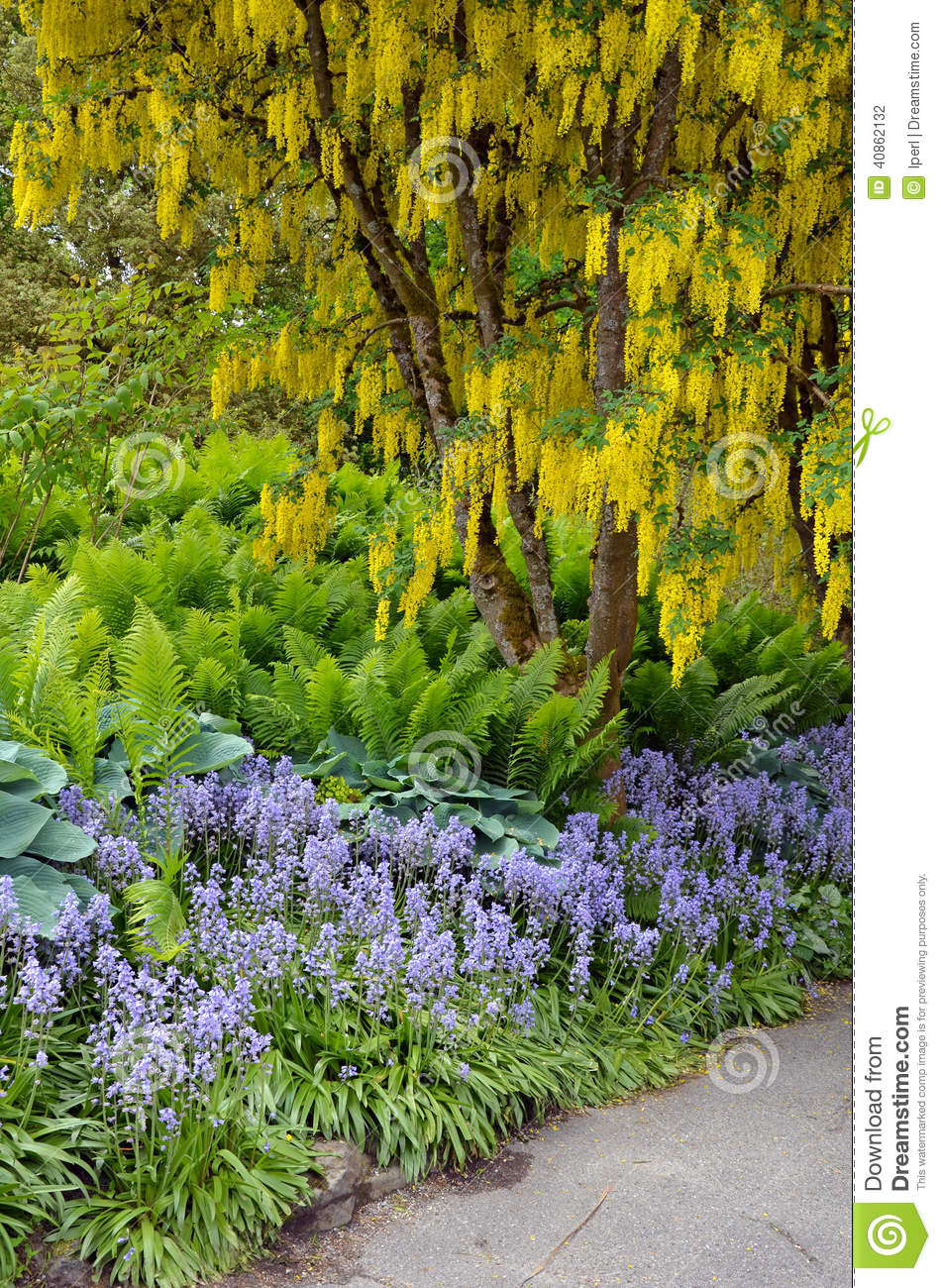Jardin jaune d 39 arbre de cytise au printemps photo stock for Beaux arbres de jardin