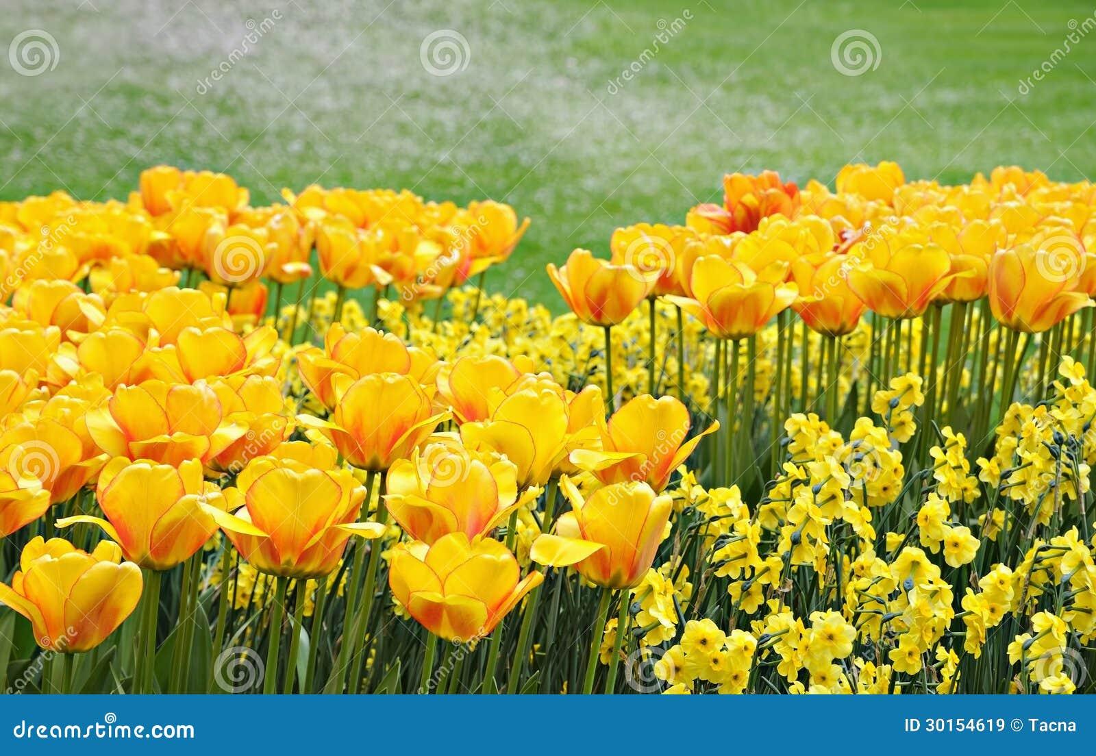 jardin jaune de fleurs au printemps image stock image 30154619. Black Bedroom Furniture Sets. Home Design Ideas