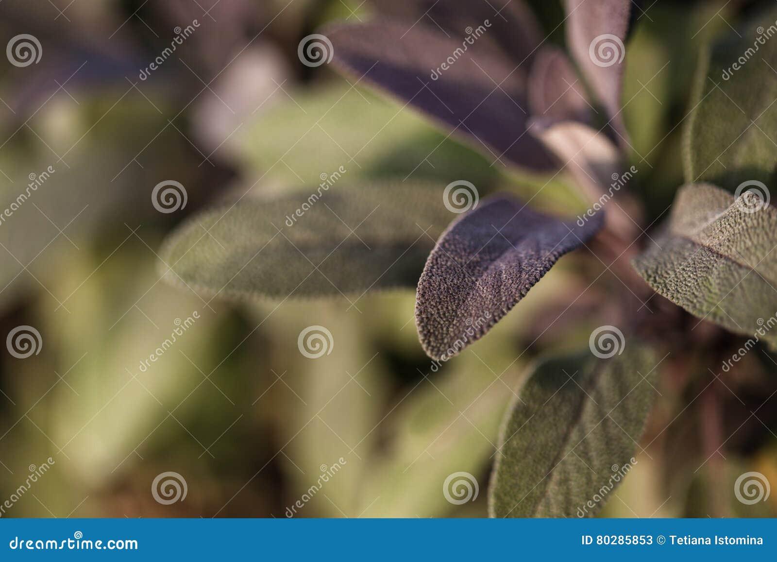 Jardinage Organique S Elevant Sage Dans Le Jardin D Herbes
