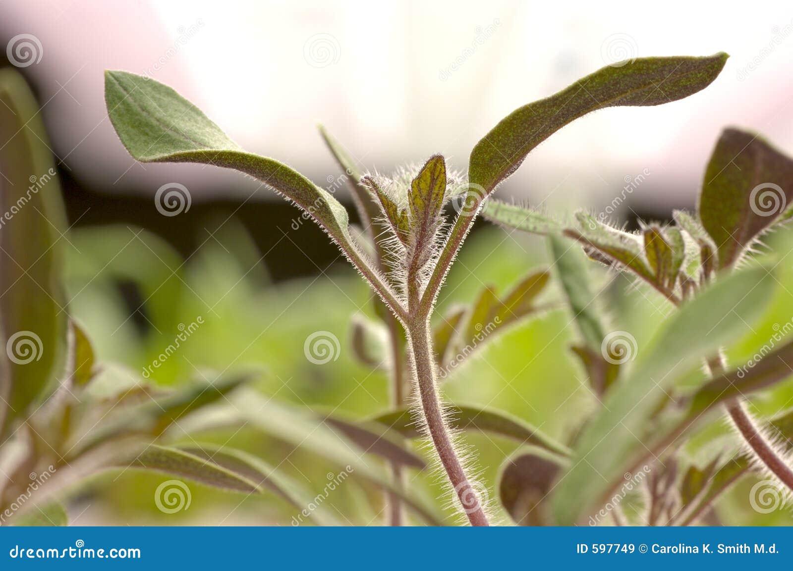 Jardinagem - Seedlings do tomate