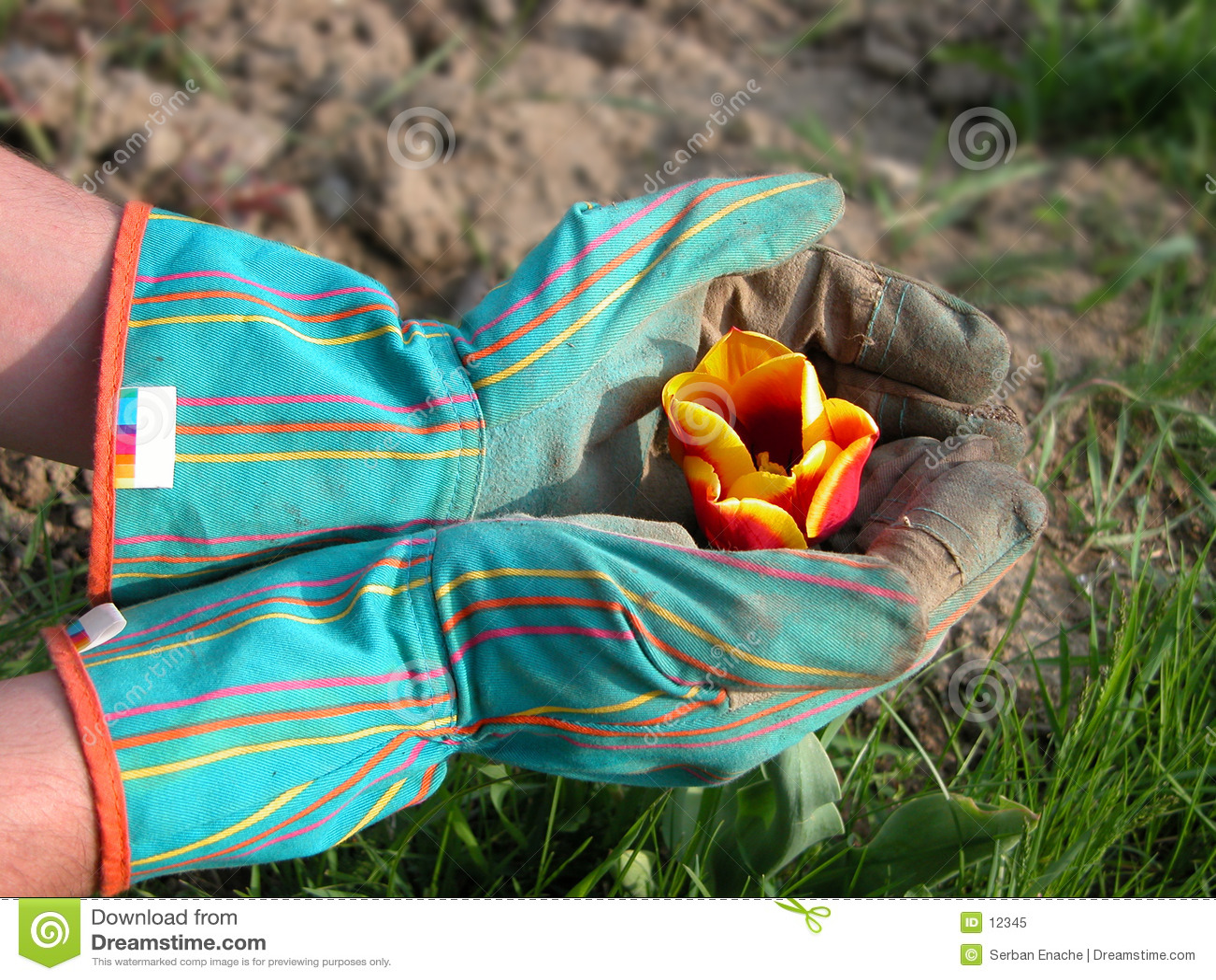 Jardineiro que protege um tulip