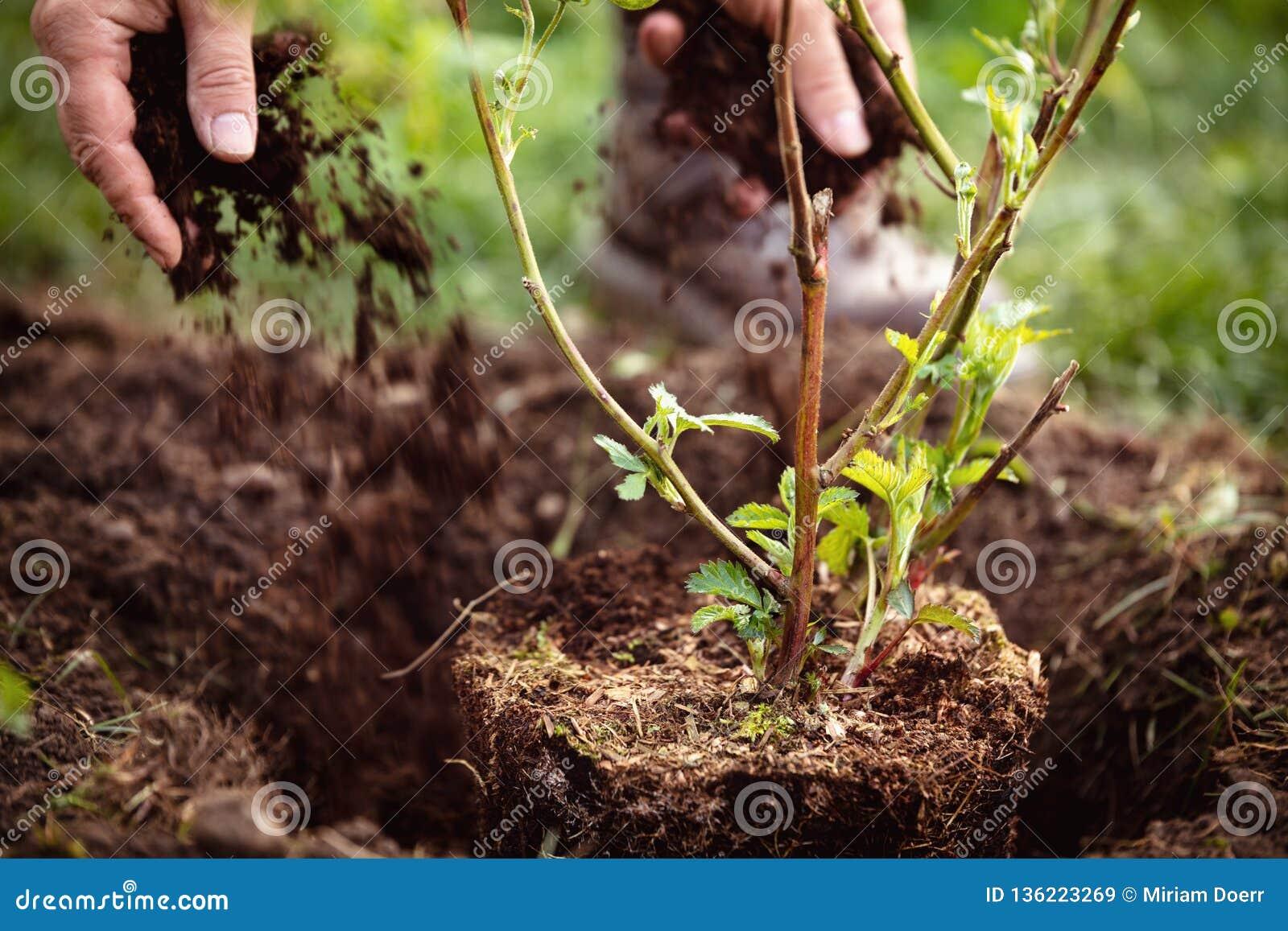 Jardinero que cubre con pajote una zarzamora, cultivar un huerto y un cuidado de establecimiento del jardín de plantas