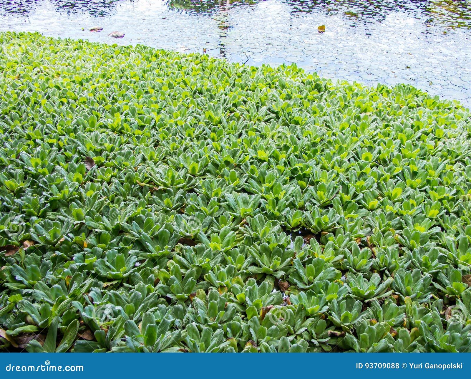 Jardines del agua de Vaipahi, Tahití, Polinesia francesa
