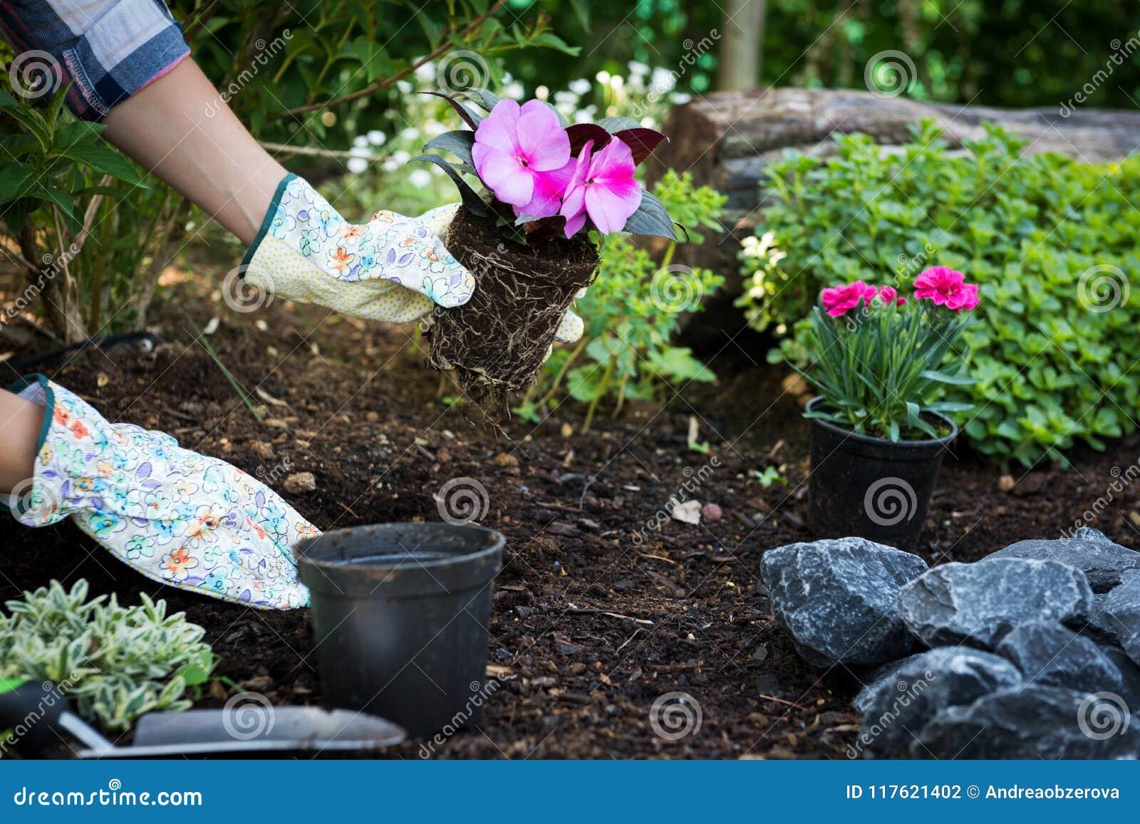 Jardinier féminin méconnaissable jugeant la belle fleur prête à être planté dans un jardin Concept de jardinage aménagement de ja