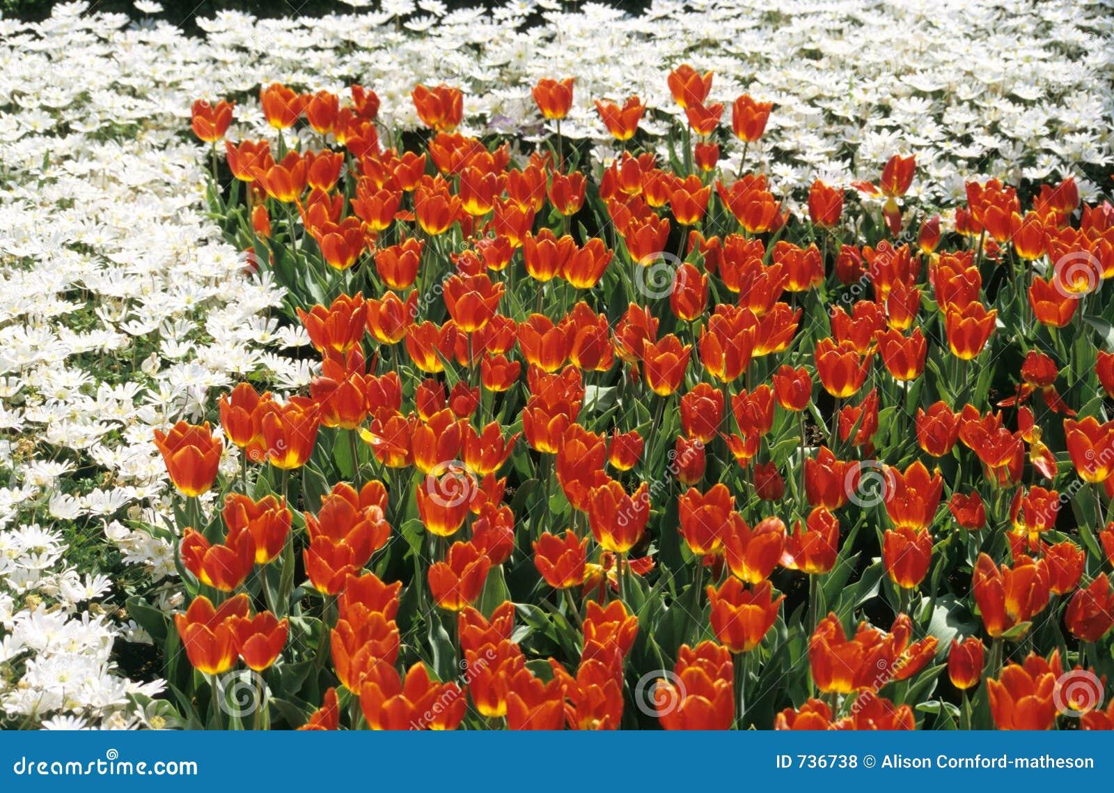 Jardins de fleur rouge et blanche