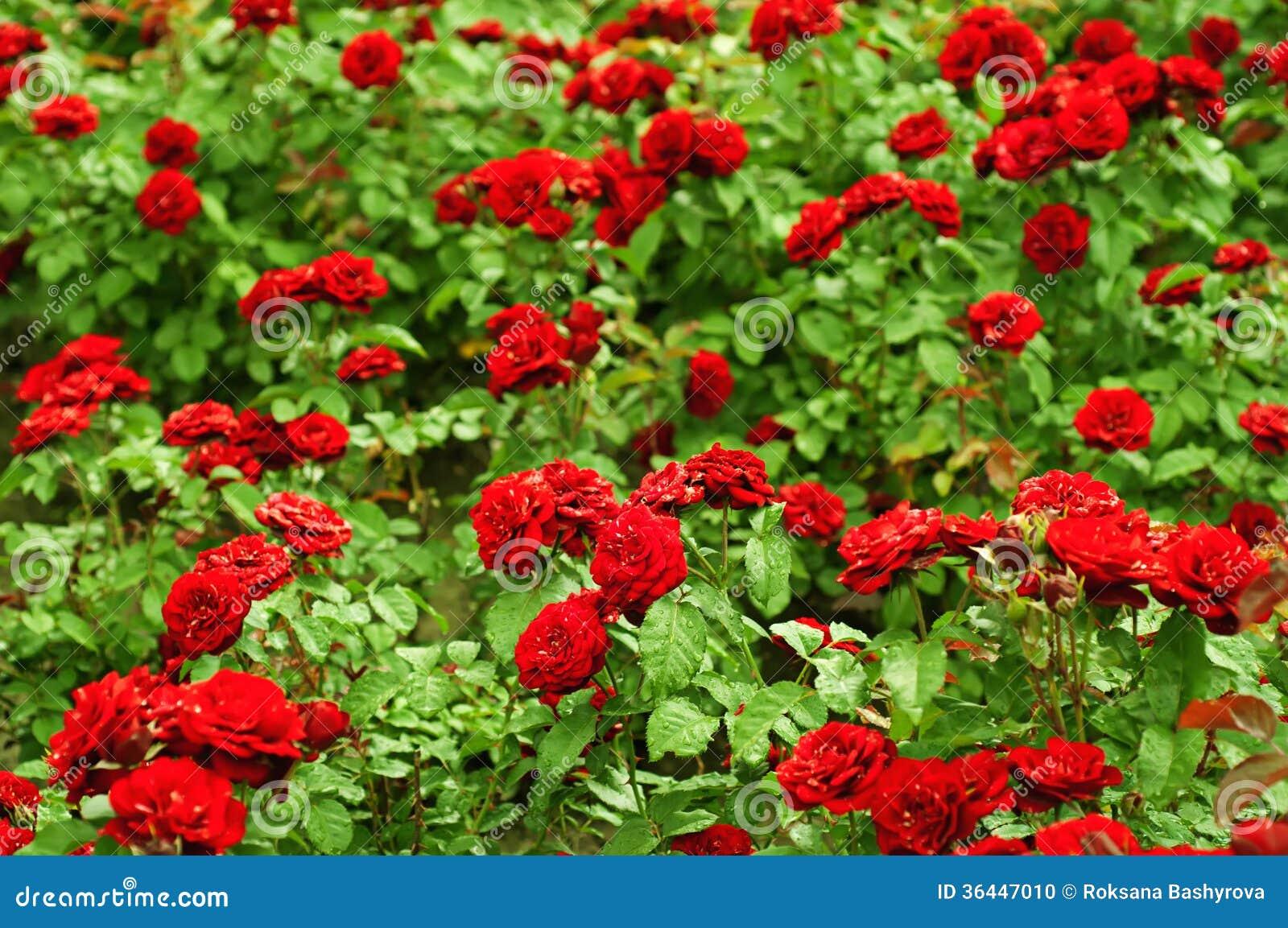 Image gallery jardines de rosas rojas - Cosas para el jardin ...