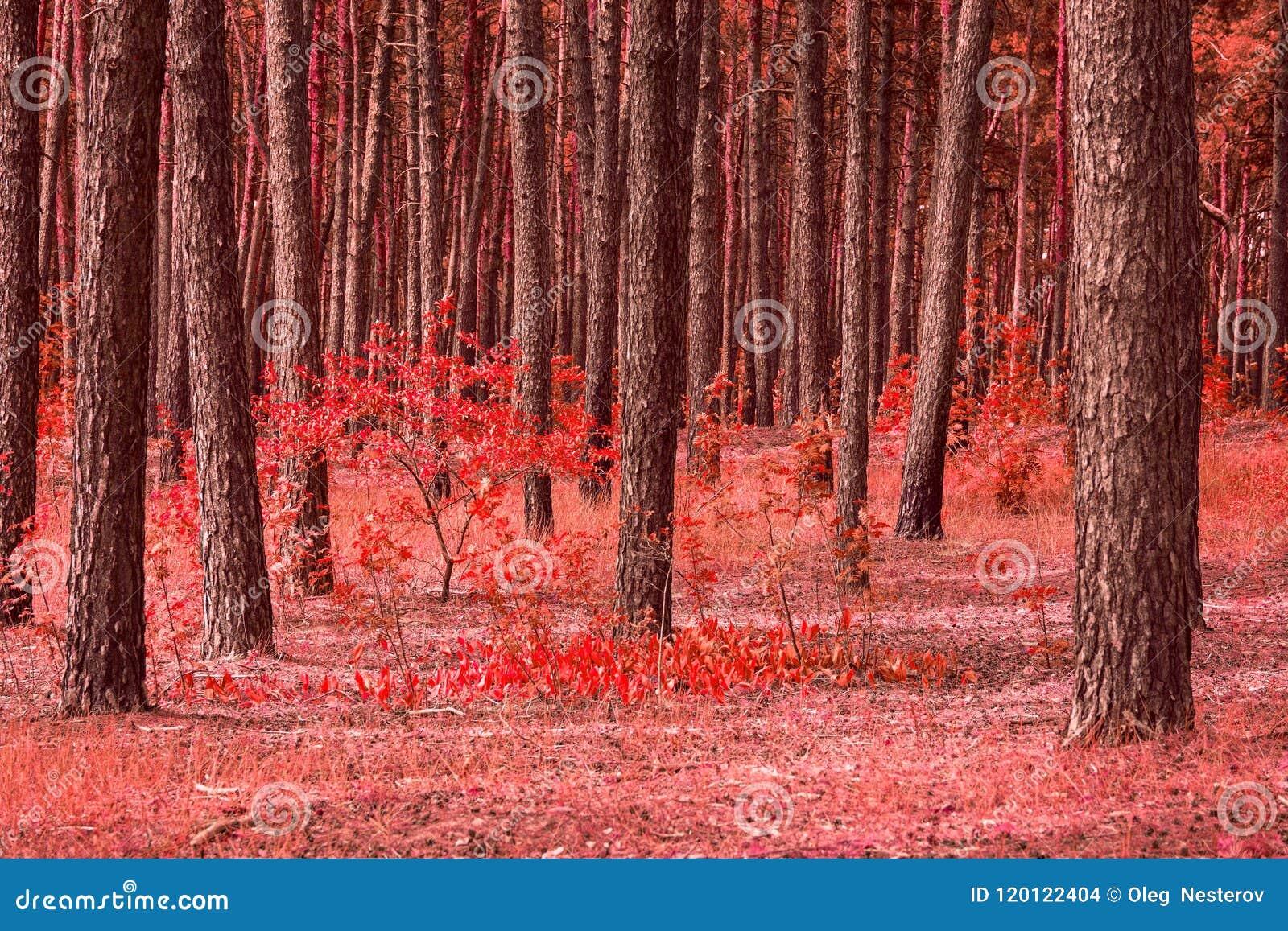 Jaskrawa czerwona lasowa wysoka sosna malować piękno jesieni rośliny